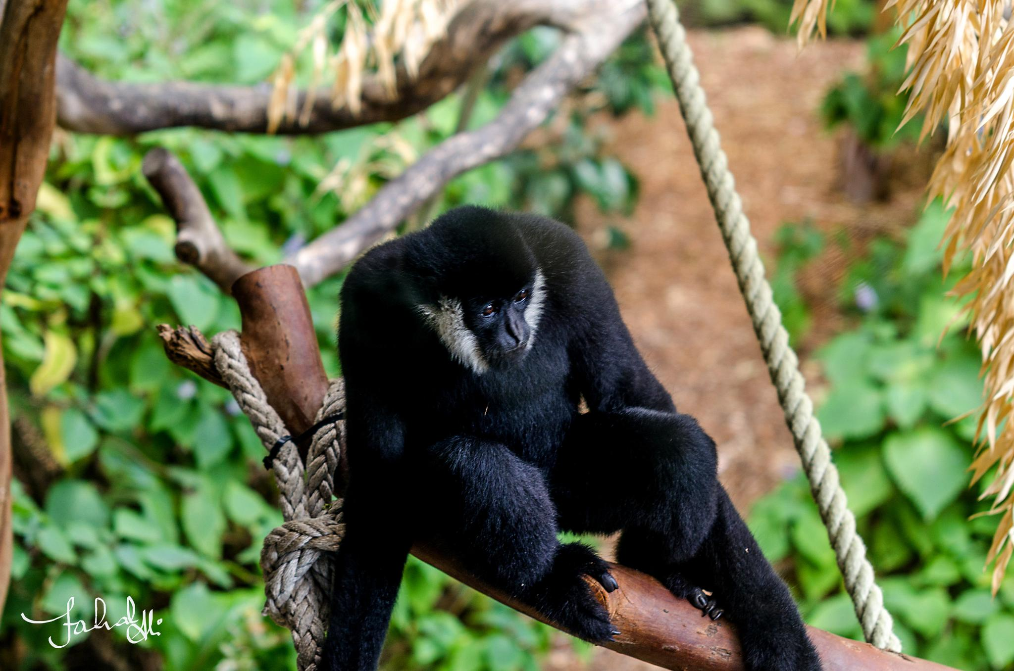 Tree-top apes by Fahad Bhatti