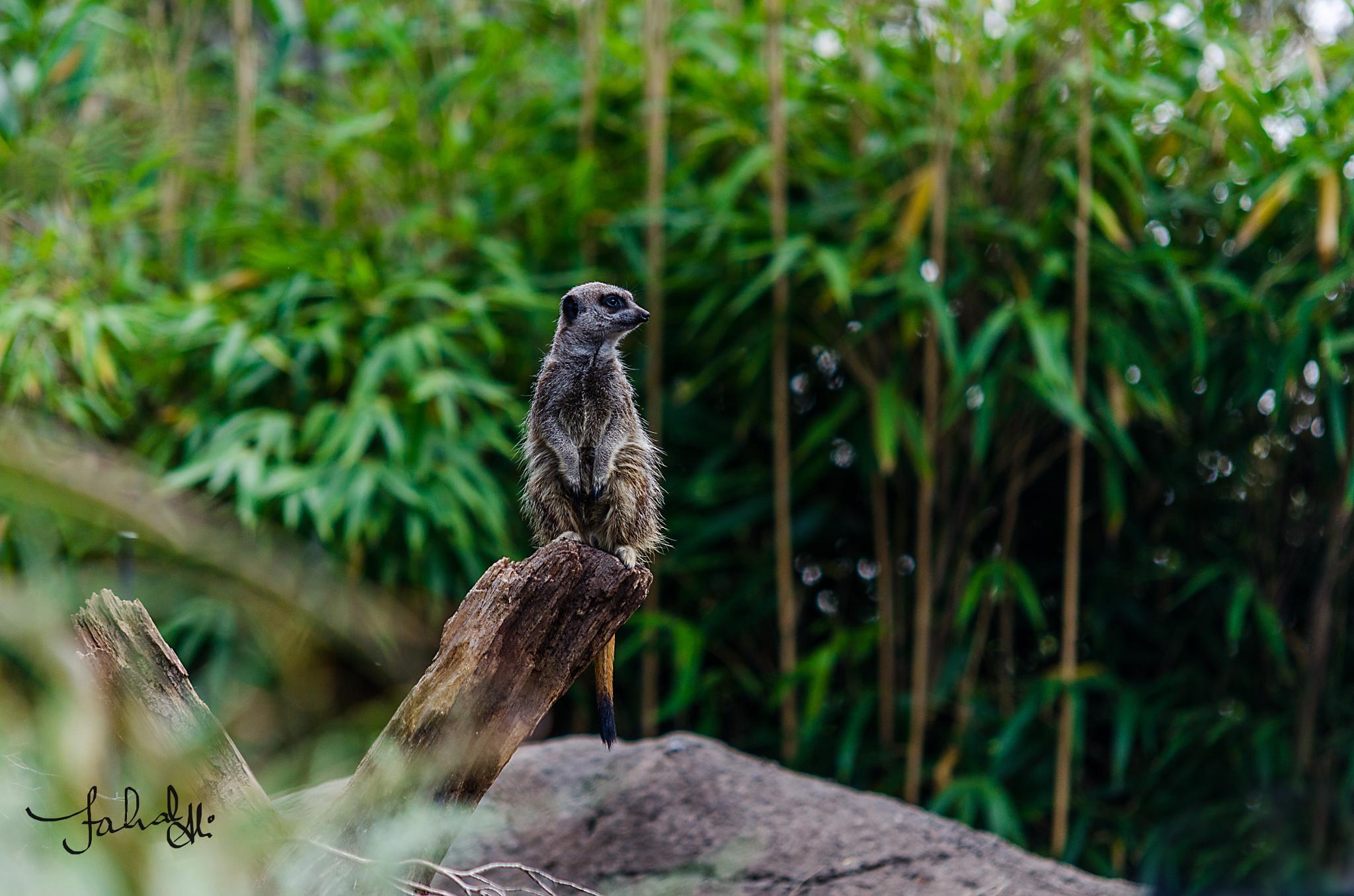 Meerkats by Fahad Bhatti