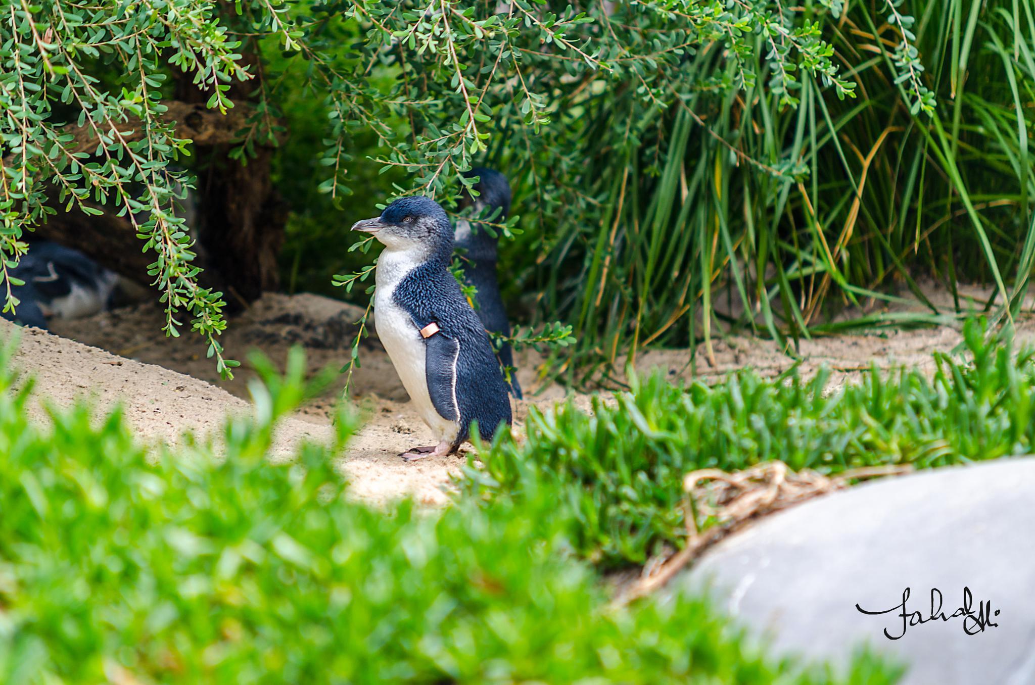 Penguins by Fahad Bhatti