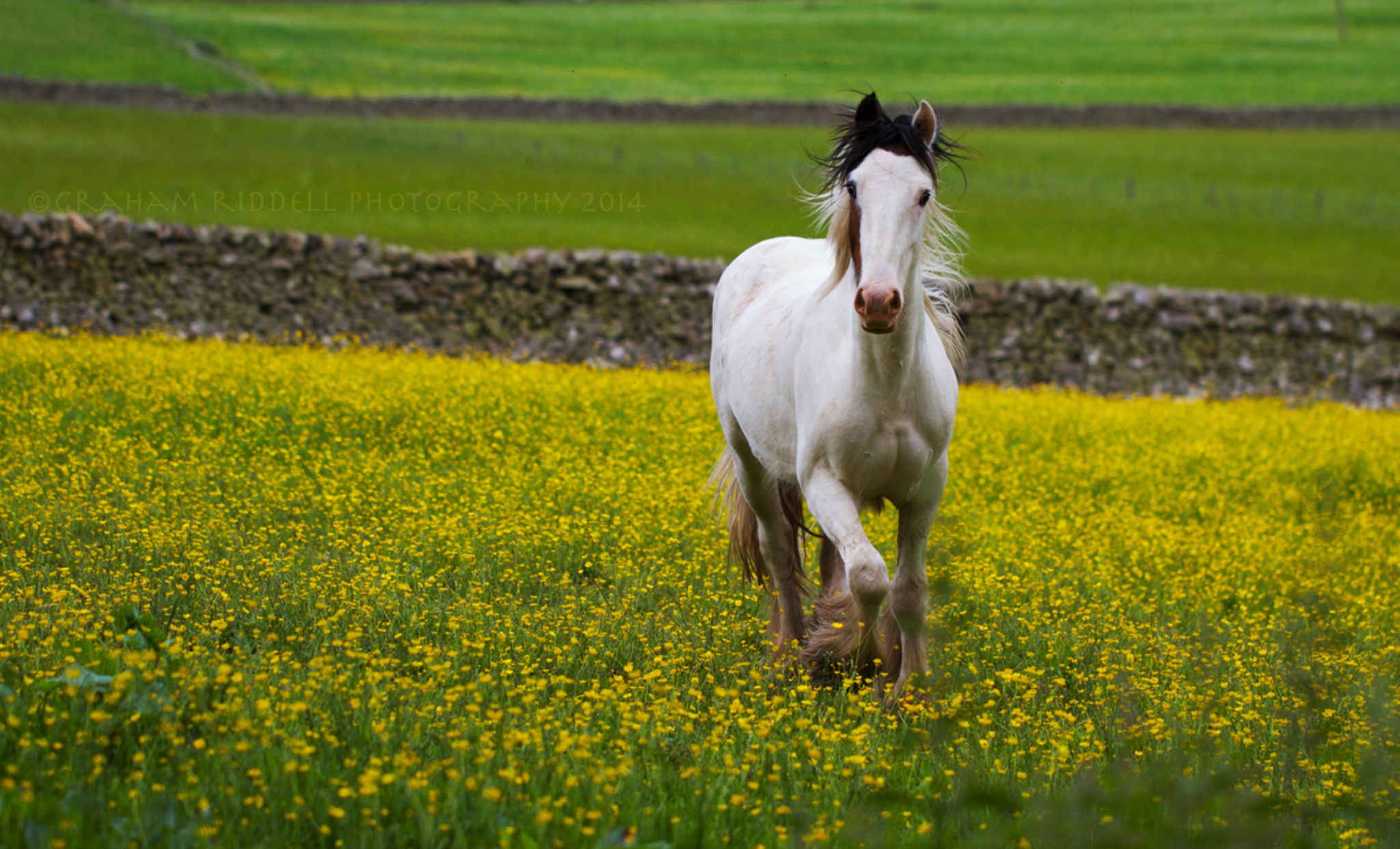 Buttercup Trot_1552 copy by GrahamJRiddell