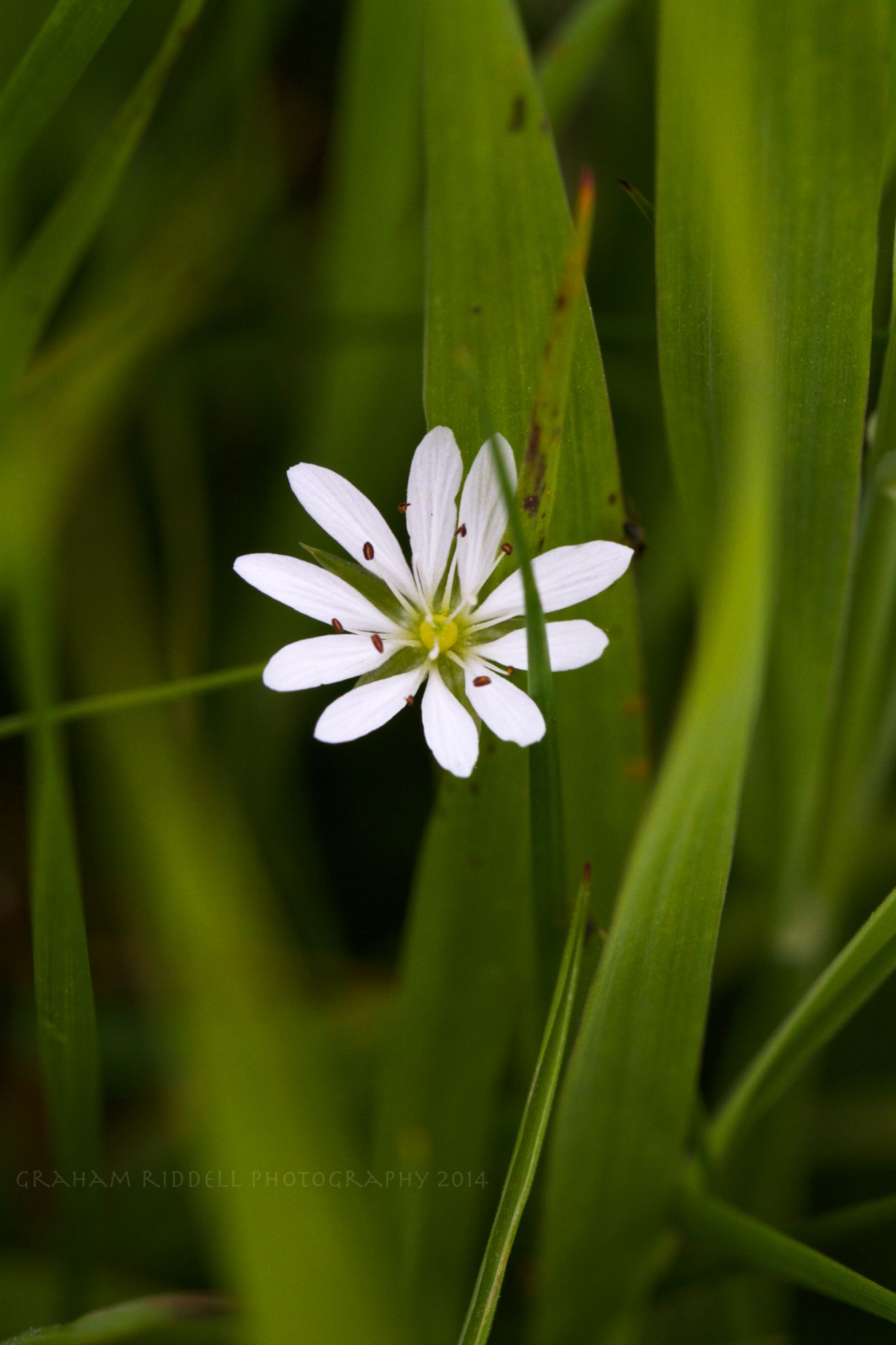 Greater Stitchwort_1511 copy by GrahamJRiddell