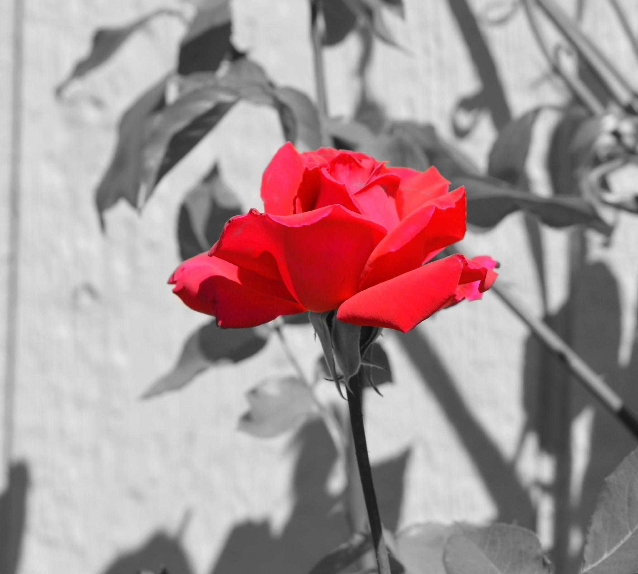 Rose by Michelle Farmer