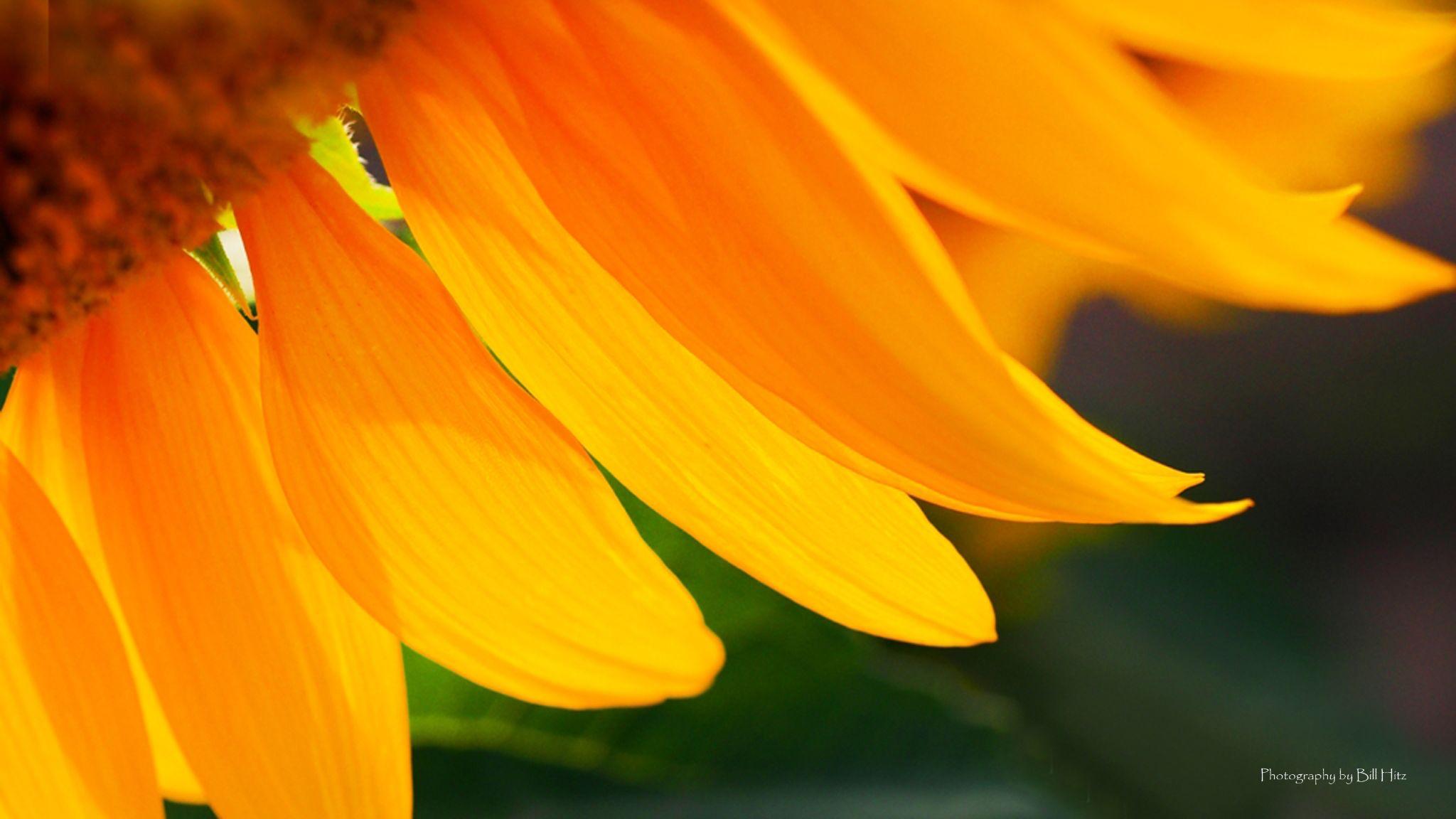 Sun Flower by Bill Hitz