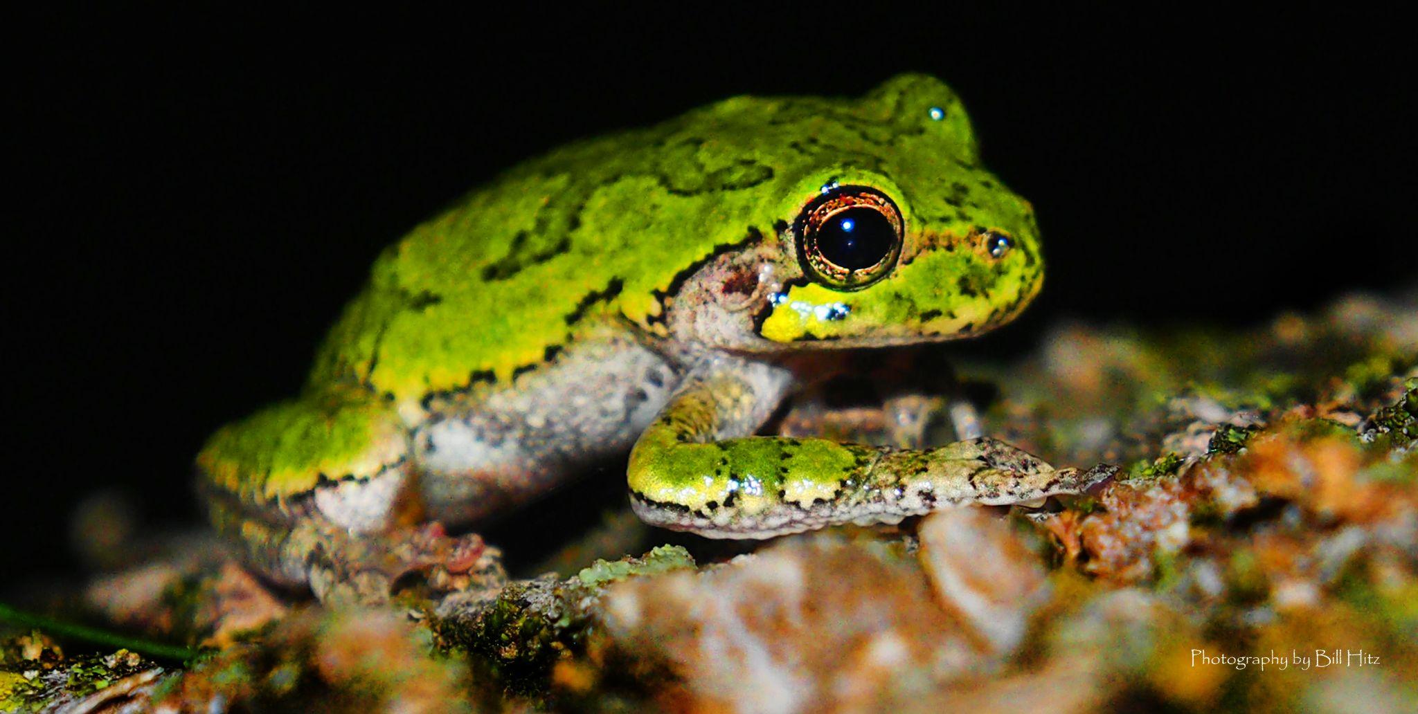 Tree Frog by Bill Hitz