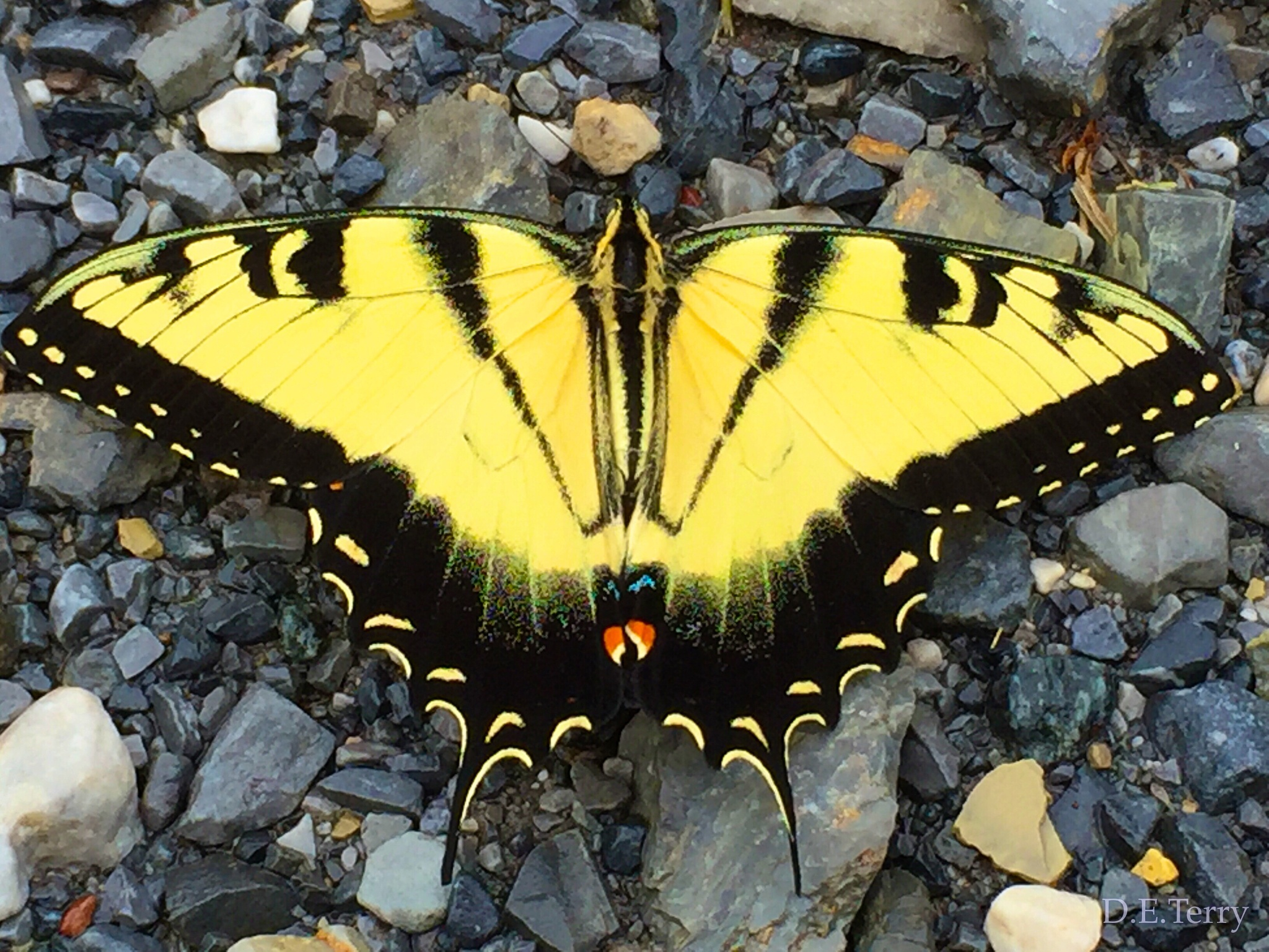 Tiger Swallowtail Butterfly  by D.E.Terry