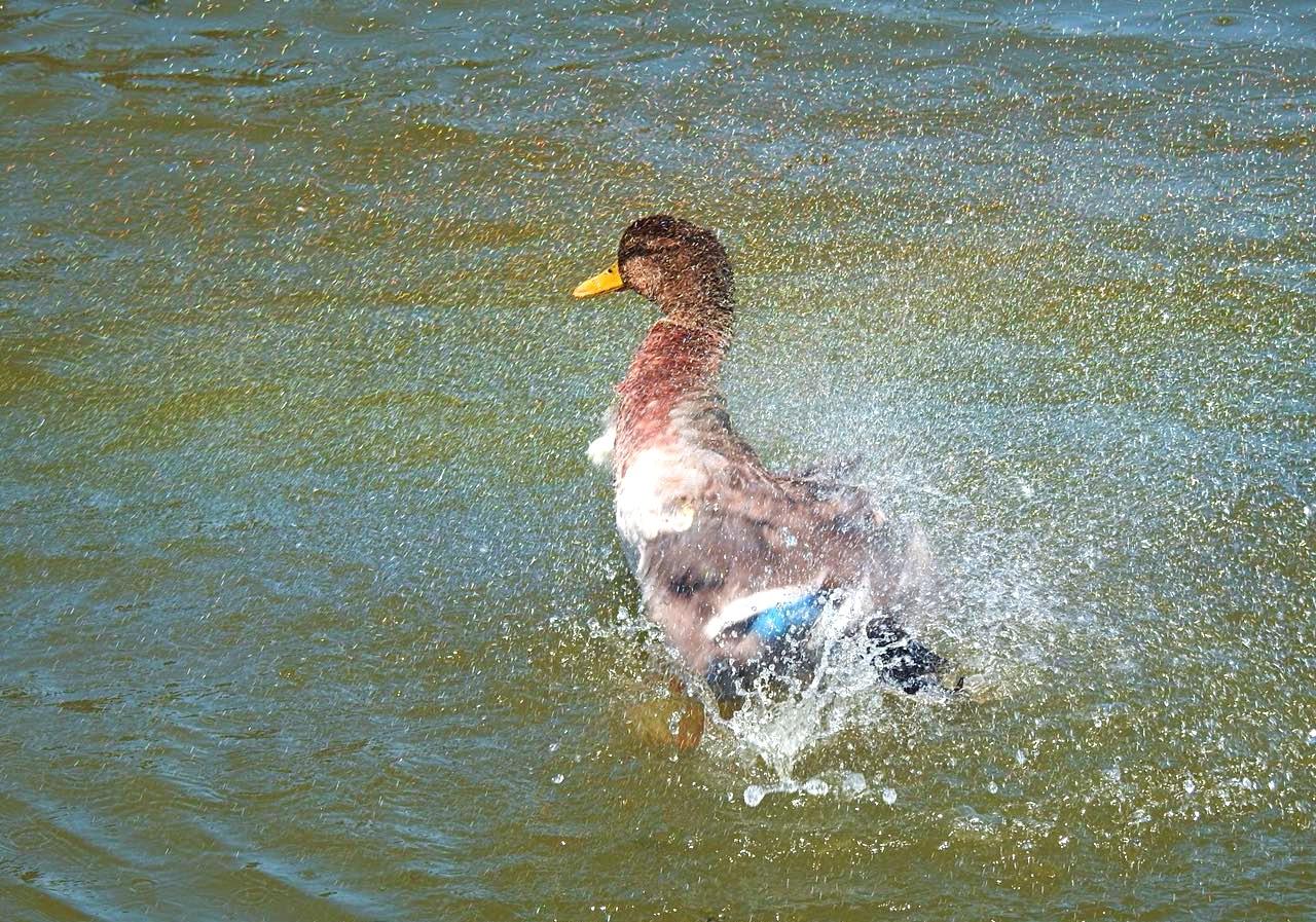 Duck by kako