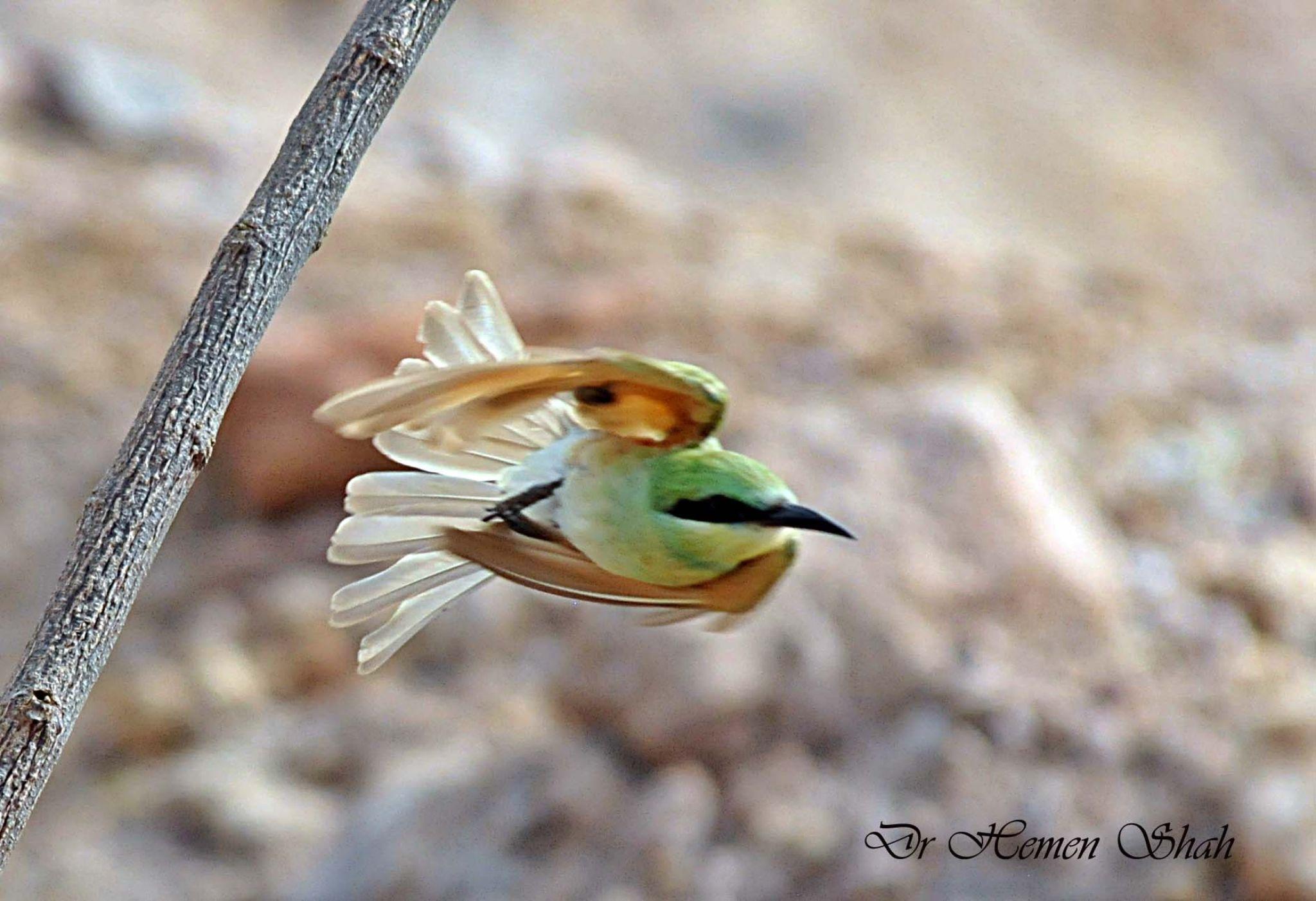 GREEN BEE EATER. by Hemen