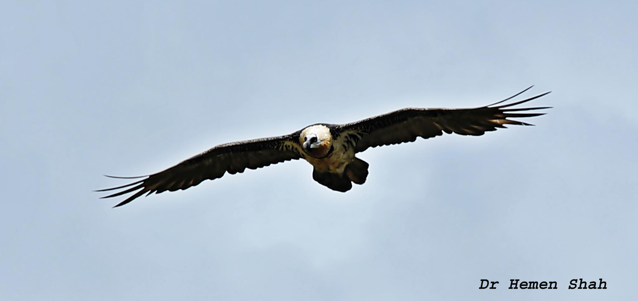 BEARDED VULTURE by Hemen