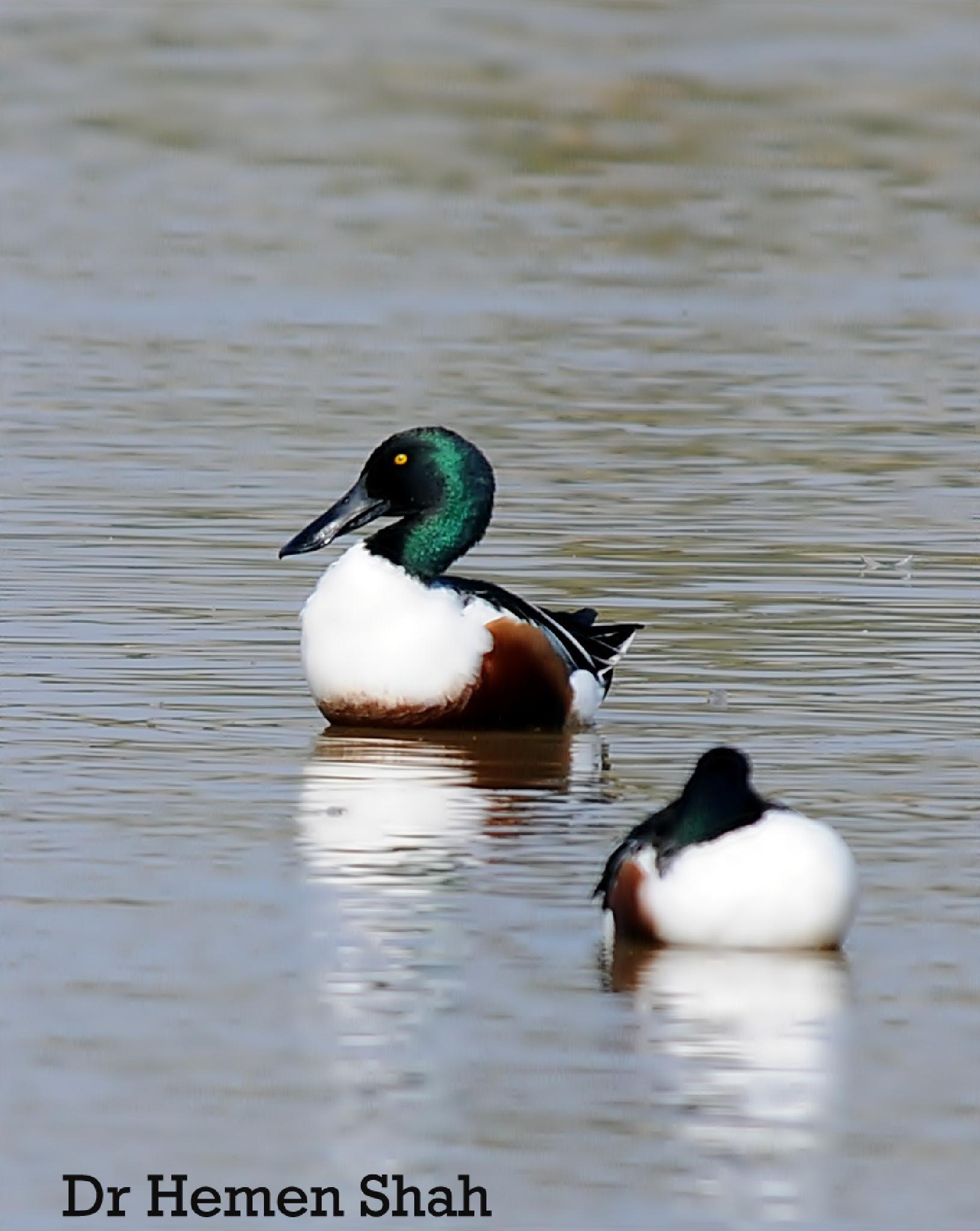 The northern shoveler  or northern shoveller . by Hemen
