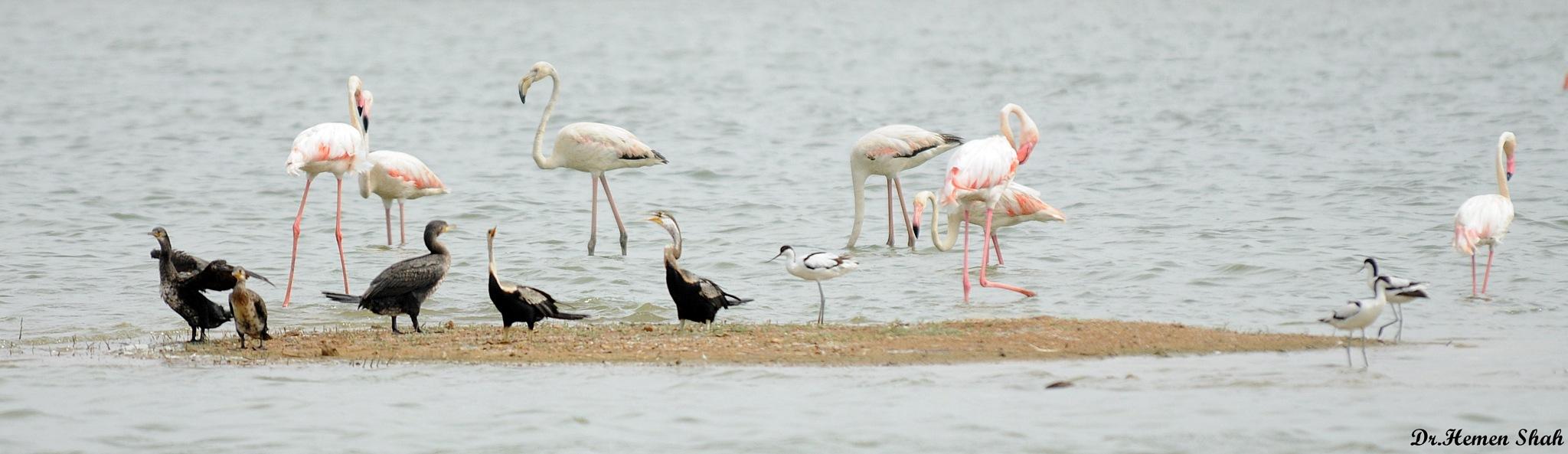Flamingos...Cormorants...Darters...Pied avocets... by Hemen