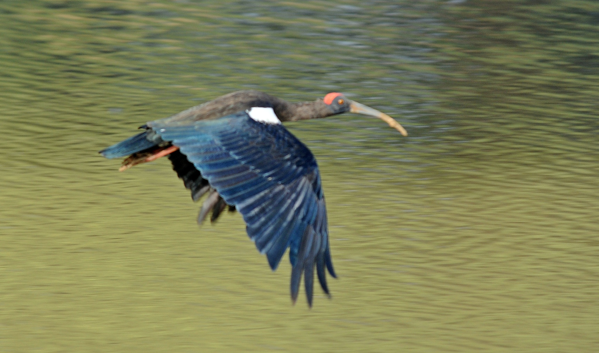 Red naped Ibis in flight by Hemen