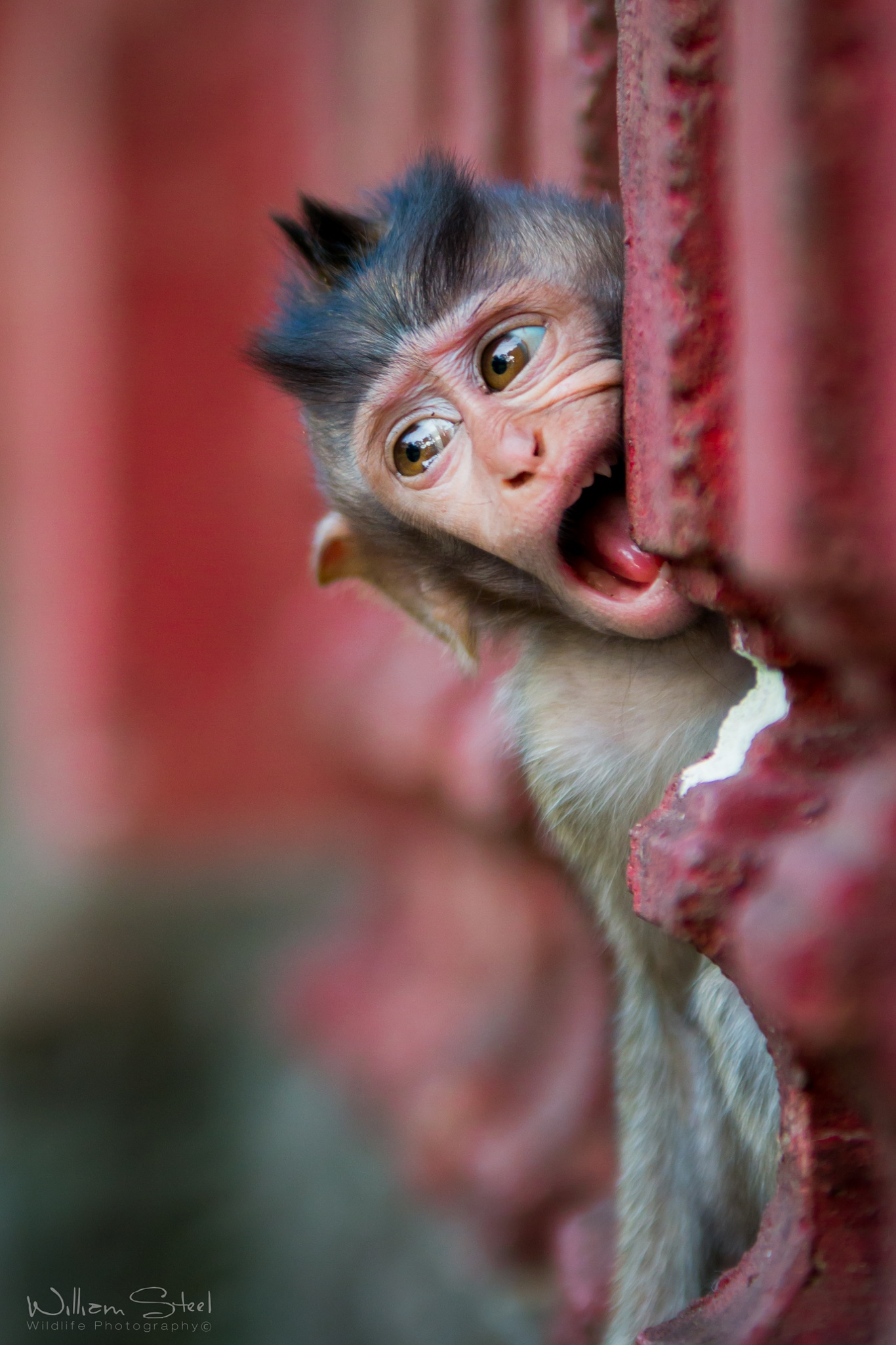 Cute Macaque  by William Steel