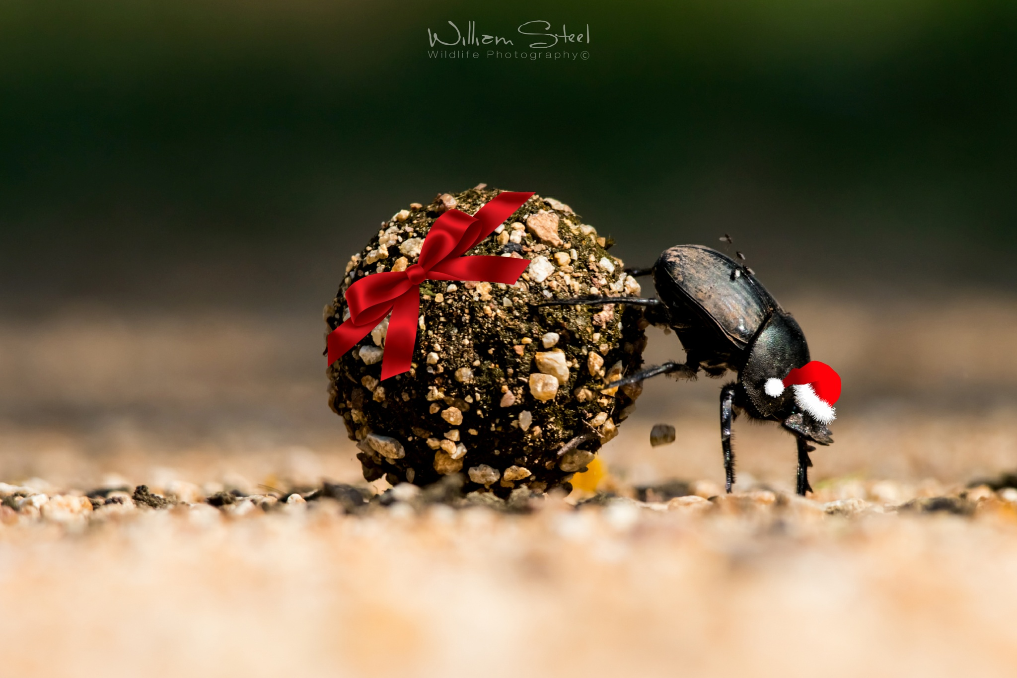 Christmas Dung Beetle  by William Steel