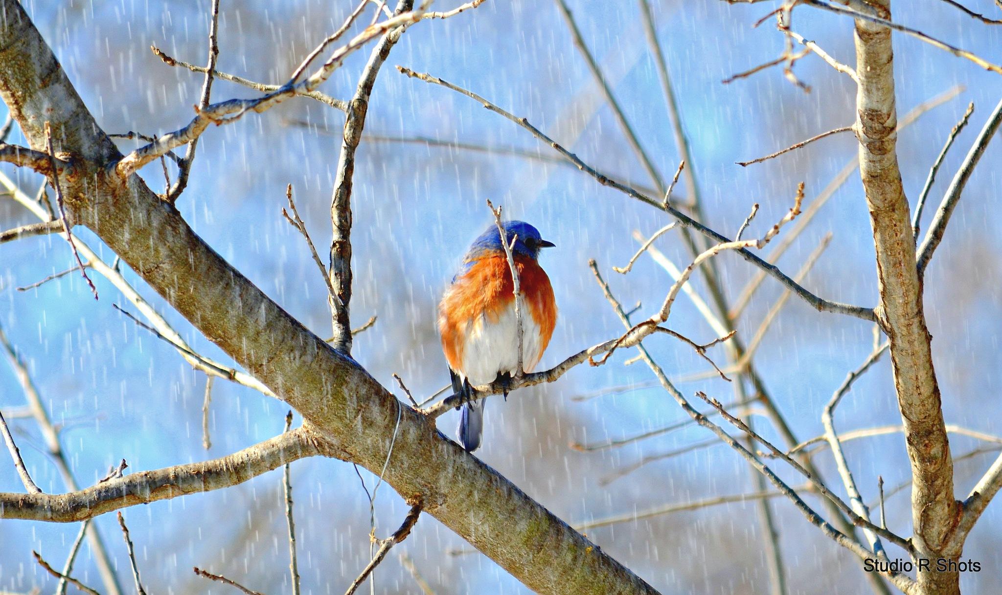 Puffy bluebird by Angie Peters Reszinski