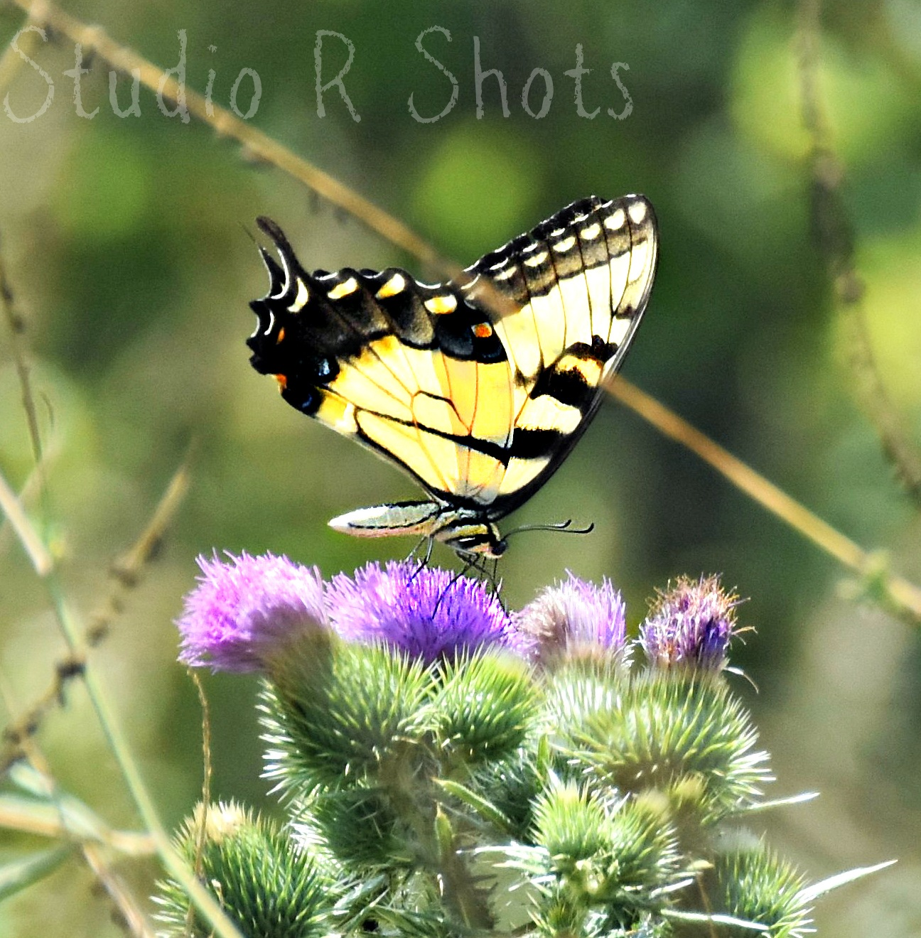 ButterFly KiSSes by Angie Peters Reszinski