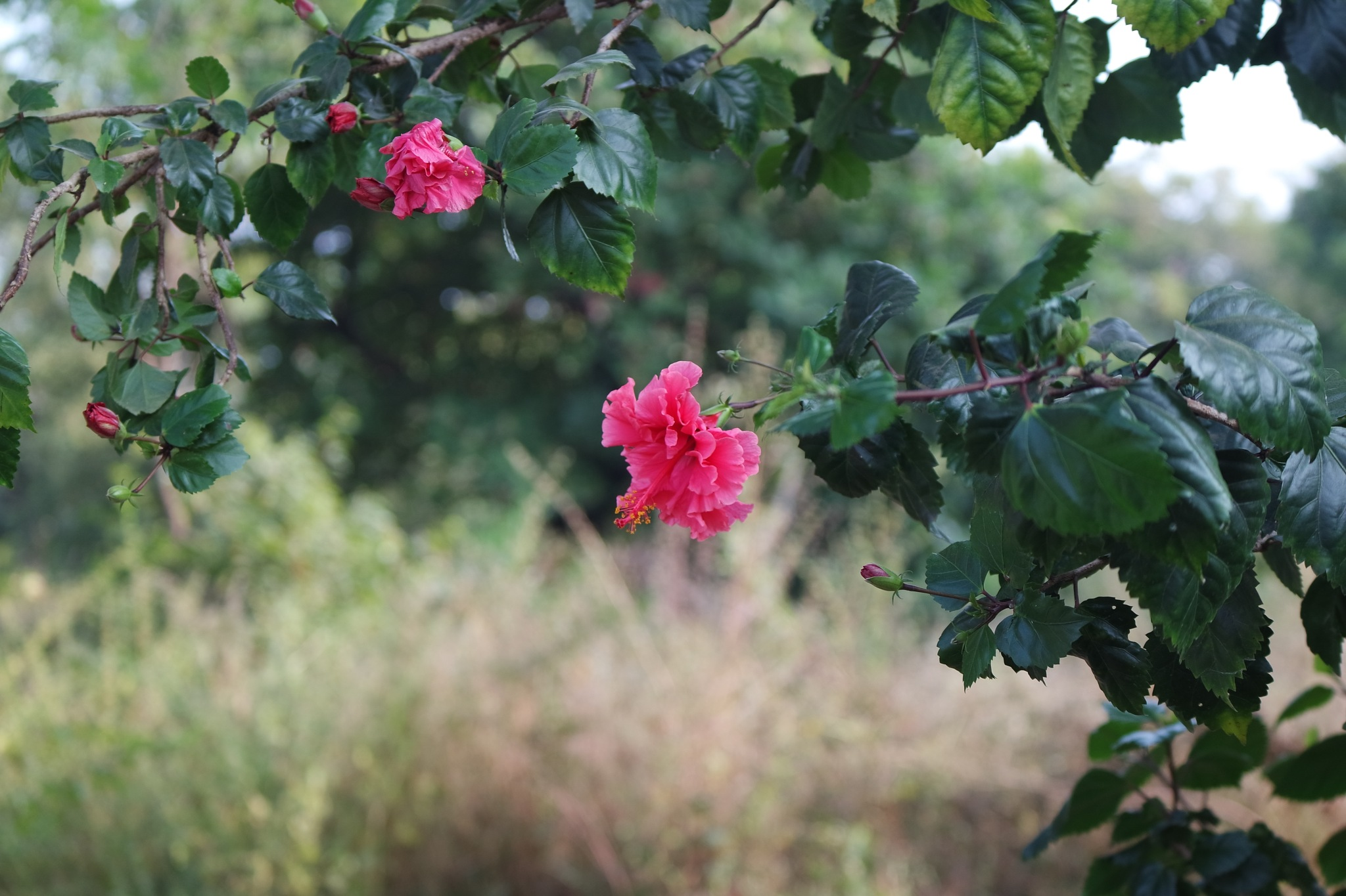 hibiscus  by Rajesh Khurana