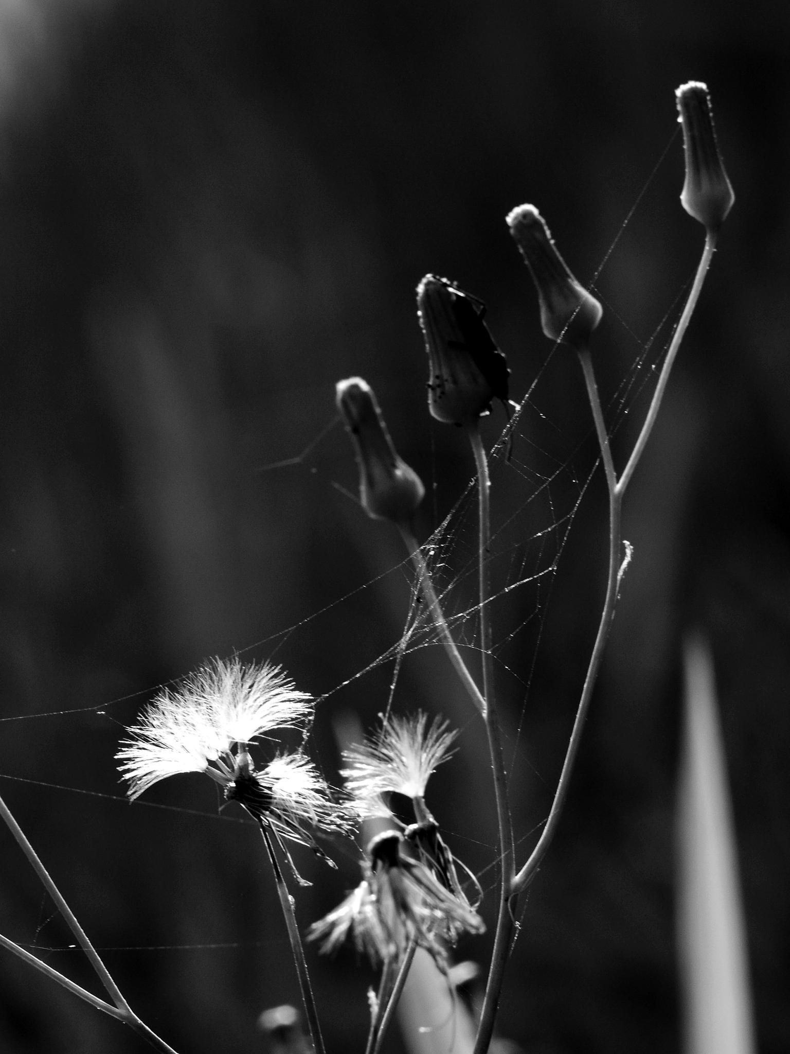 Photo in Black and White #flower #macroflower #bnw #sniperbw
