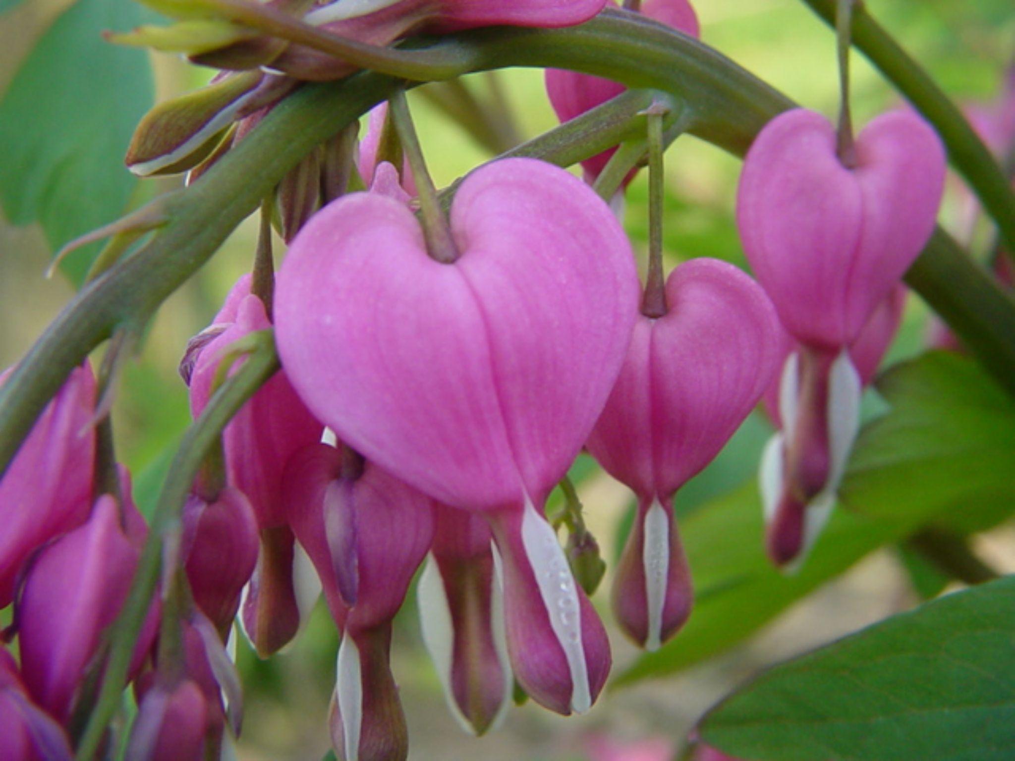 Bleeding Hearts  by John Benedick