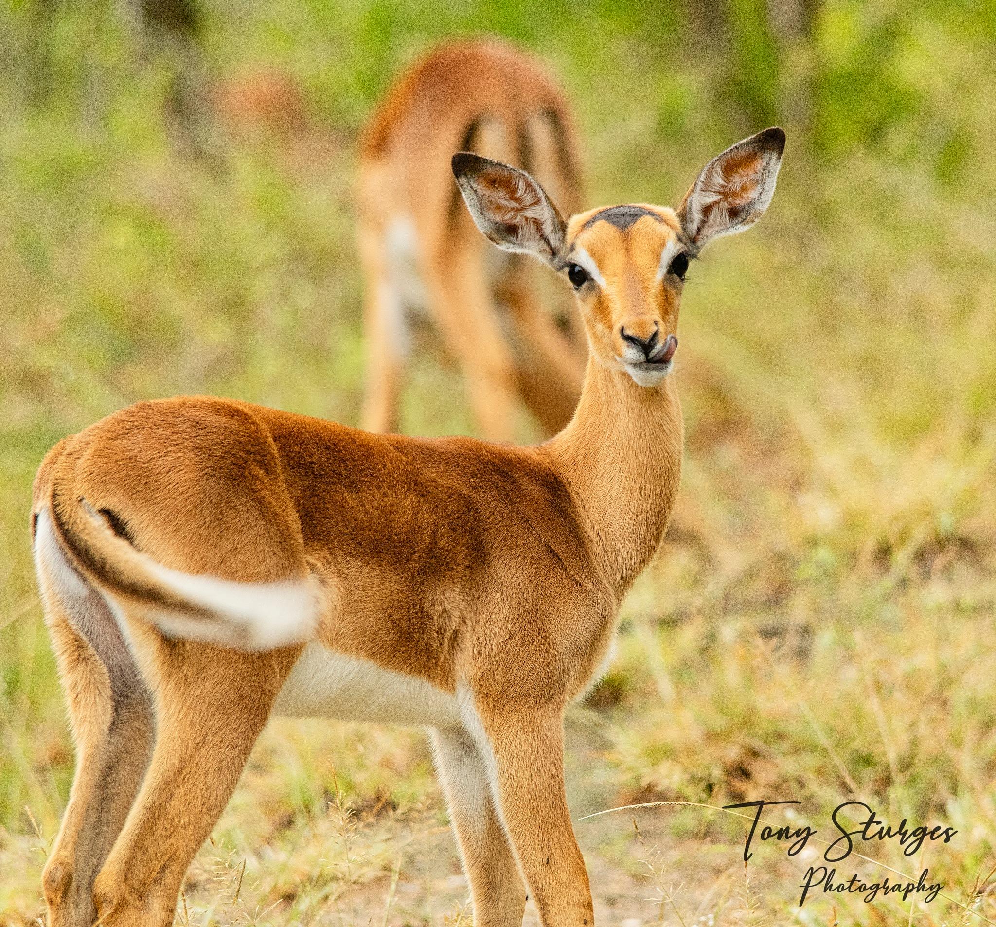 Photo in Animal #impala #imfolozi national park #wildlife #nature
