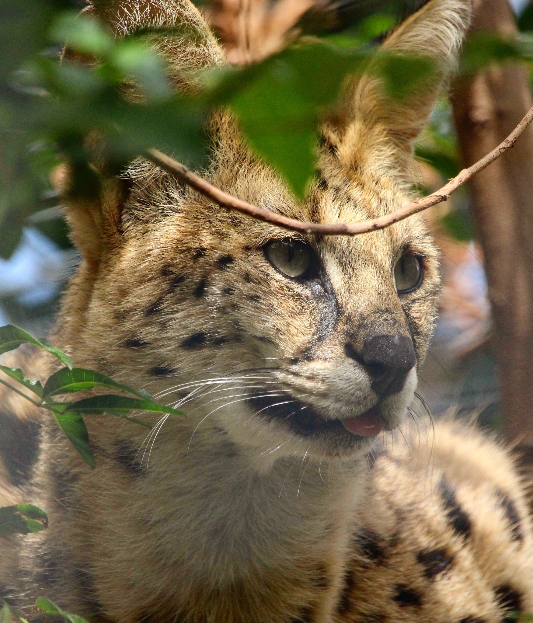 Serval, wildcat. by Danielle Davis