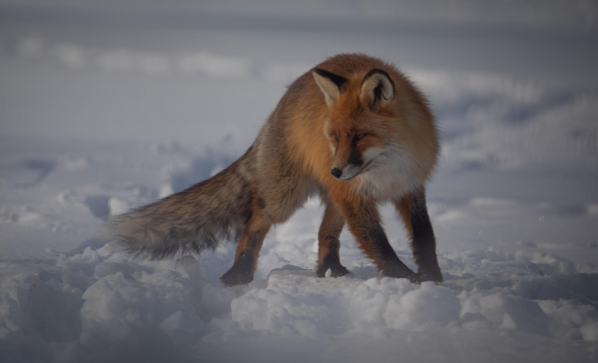 Fox I by Svein Erik Andresen