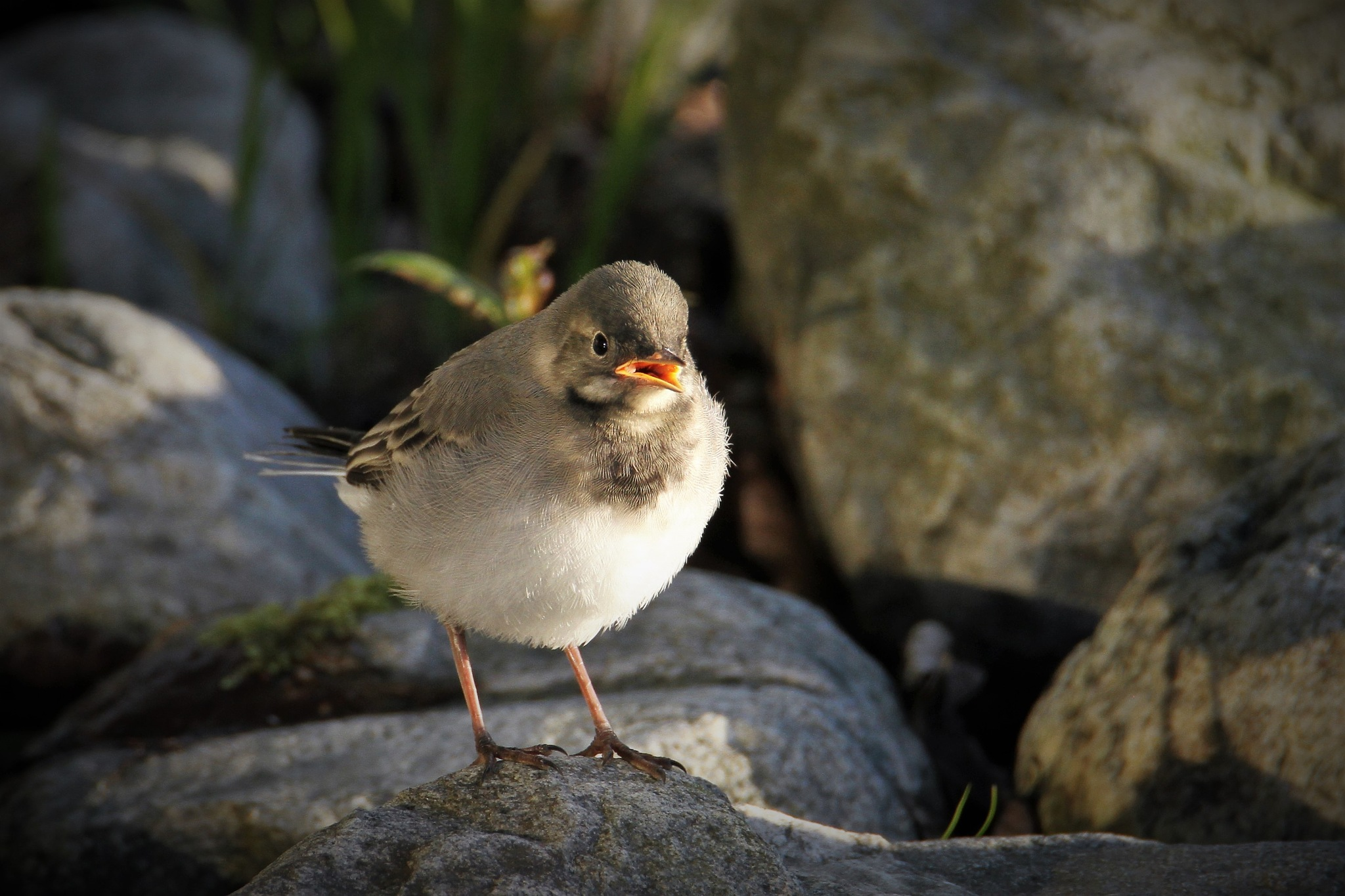 Young White Wagtail by Svein Erik Andresen