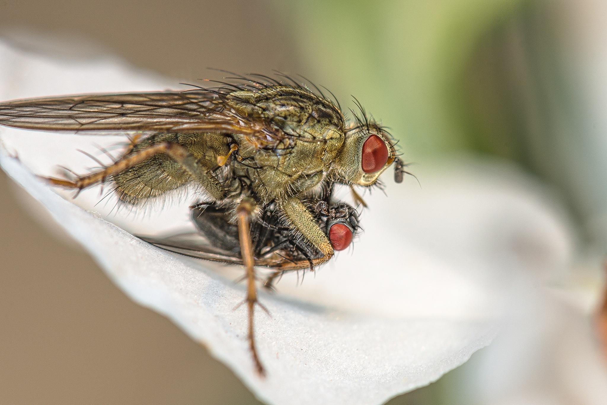 Photo in Macro #macro #flies #insects #prey