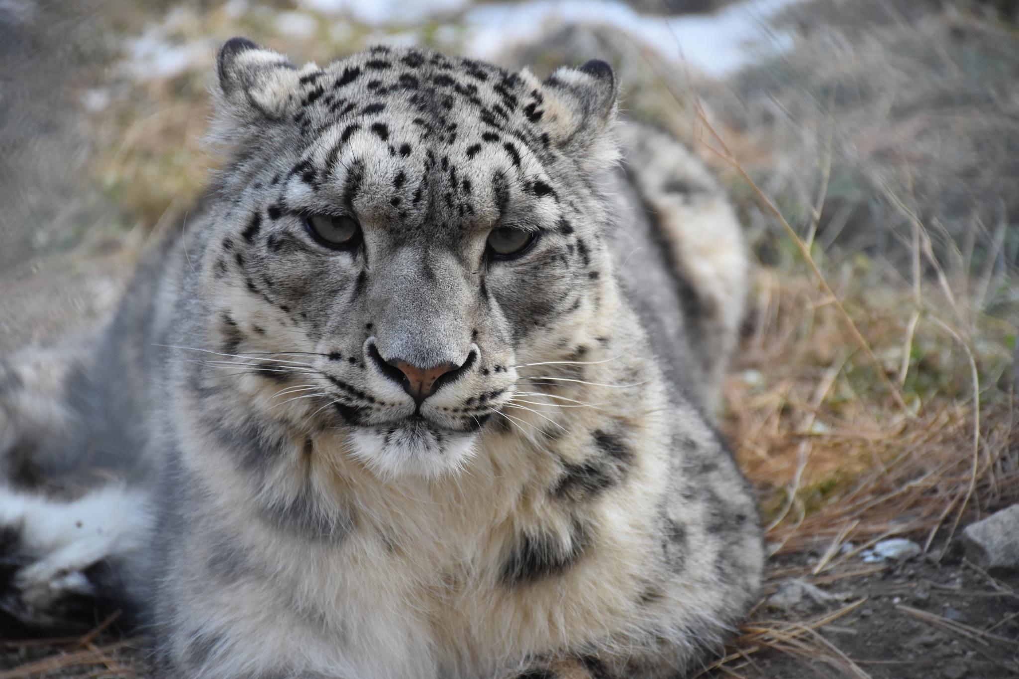 Snow leopard  by Ramzan Rafique
