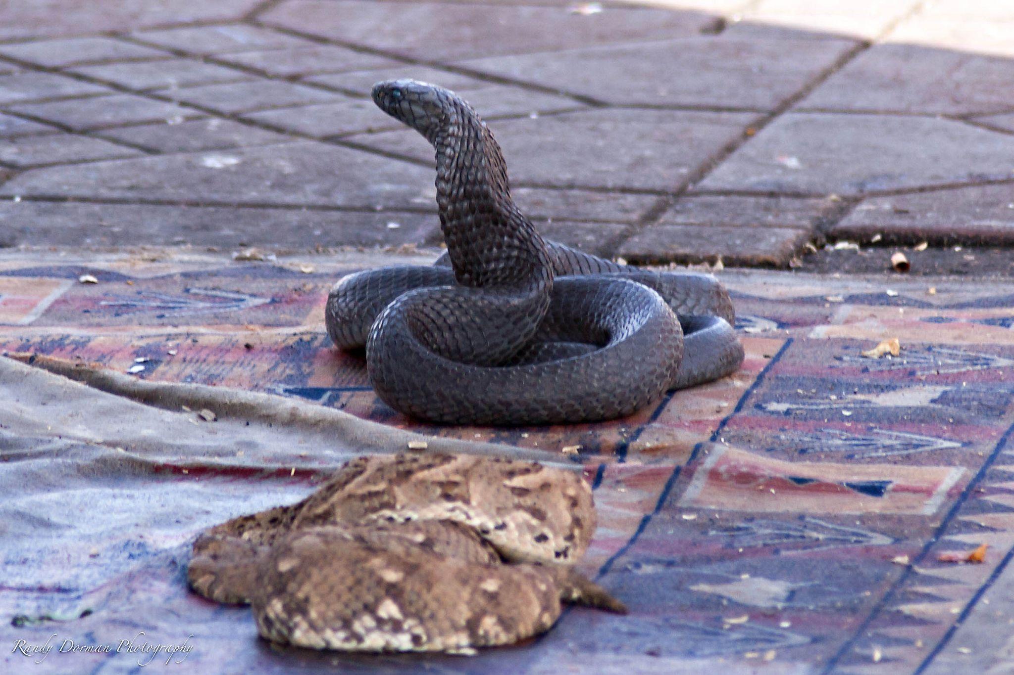 Snakes Djemaa el-Fna Market by Randy Dorman