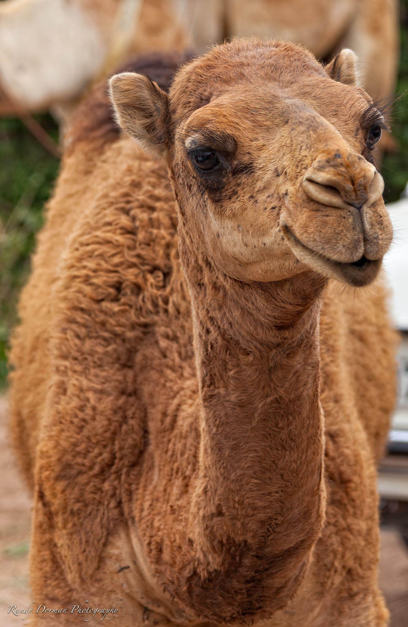 Baby Camel by Randy Dorman