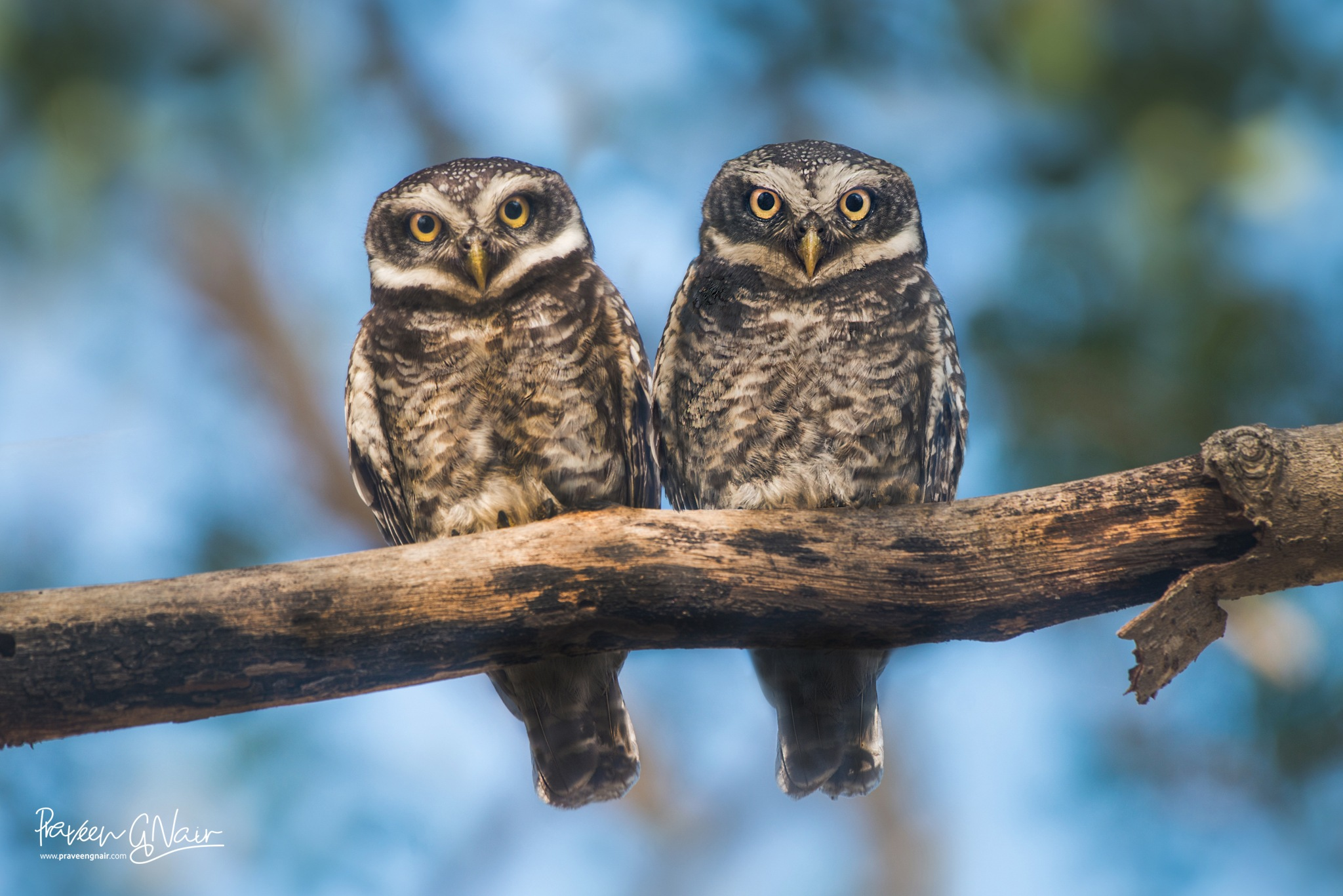 Spotted Owlet or Small Owl by praveen g nair
