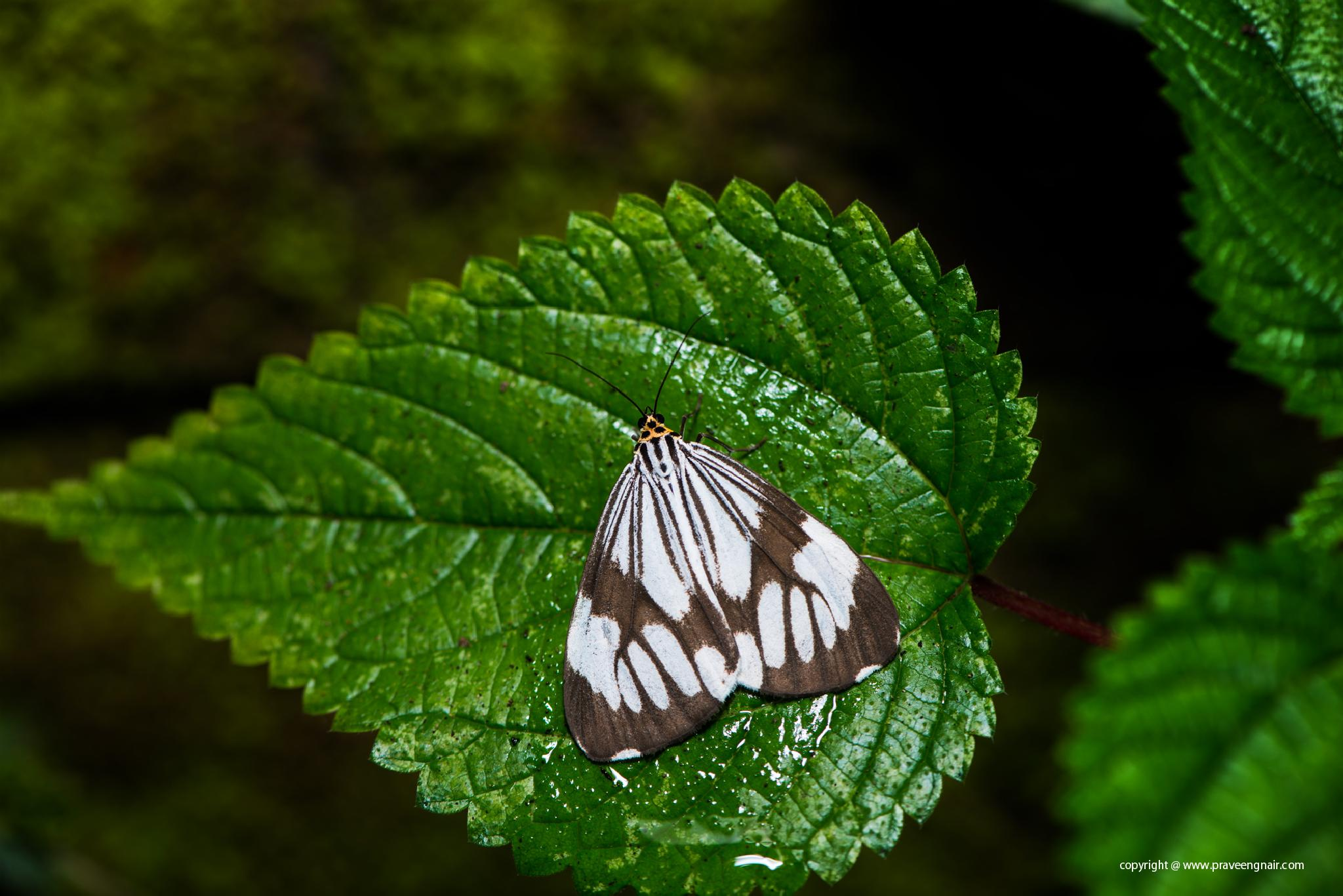 Marbled White Moths by praveen g nair
