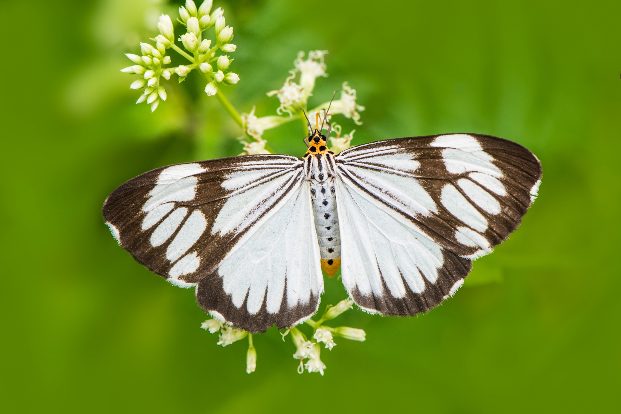 marbled White Tiger Moth by praveen g nair