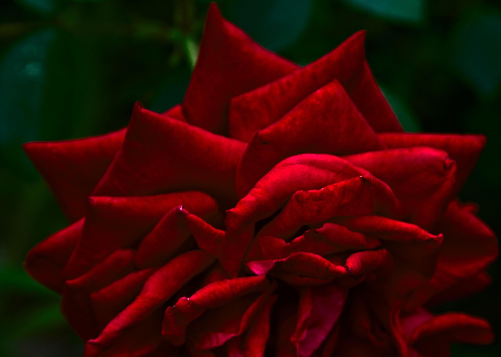 Red rose / 2 by Евгений Козлов