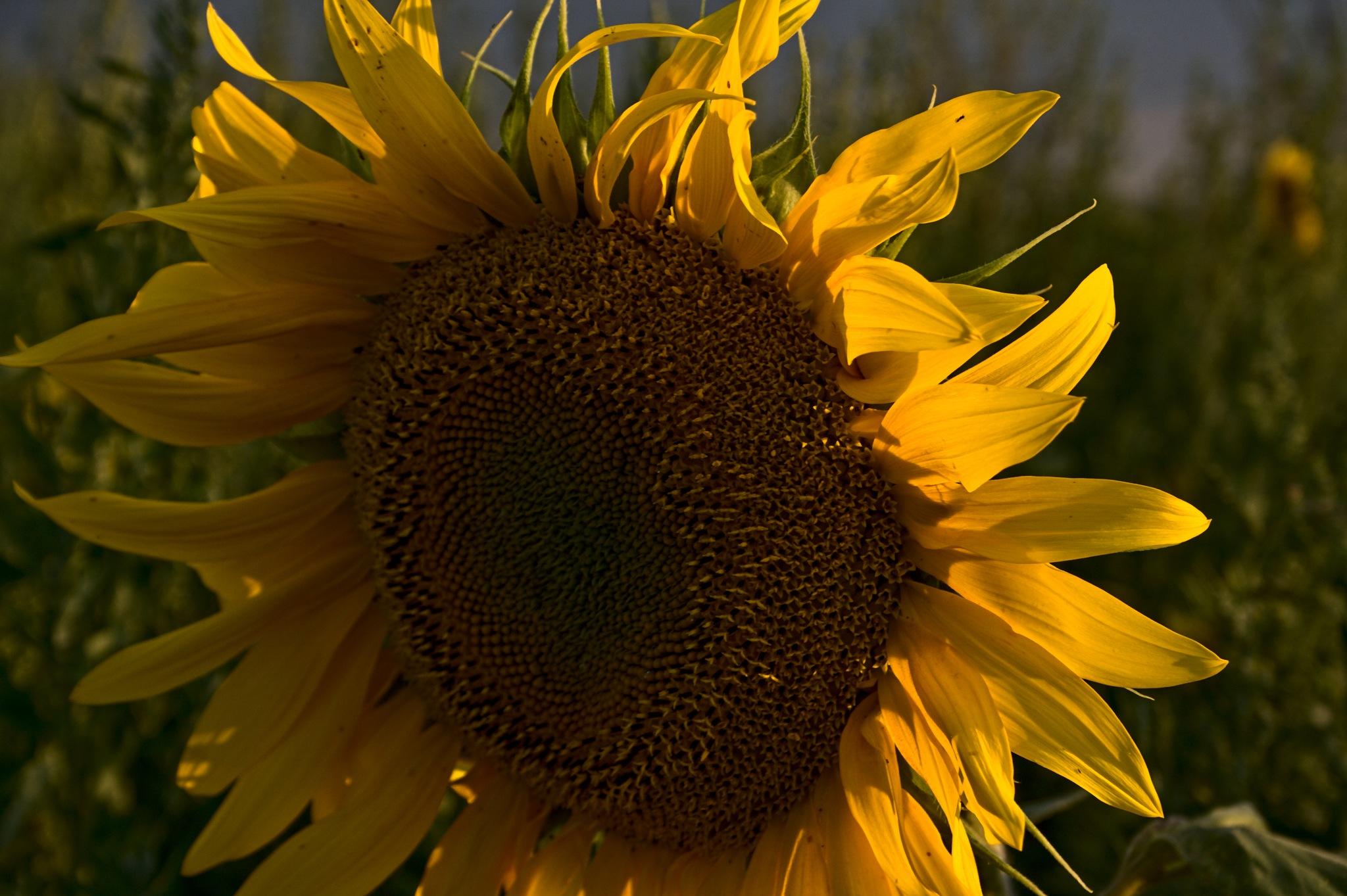 Sunflower by Евгений Козлов
