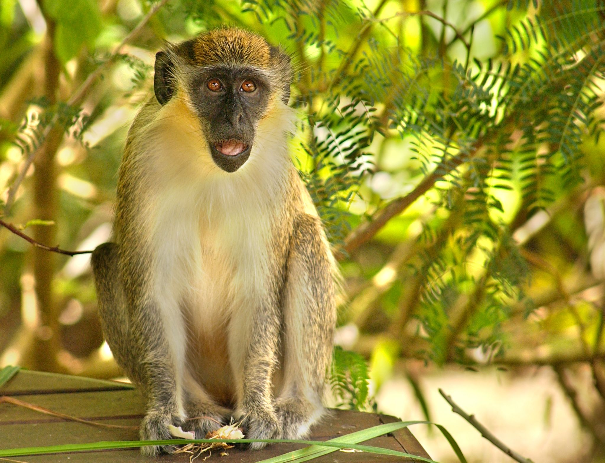 Barbados Monkey by Pat Bell