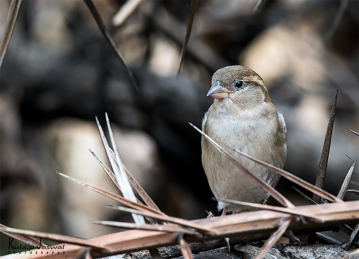 House sparrow. (Passer domesticus). by Kuldip Jaswal