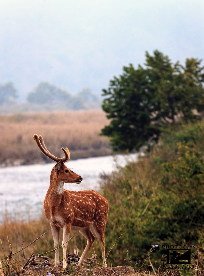 Chital. -also known as spotted deer or axis deer.  by Kuldip Jaswal