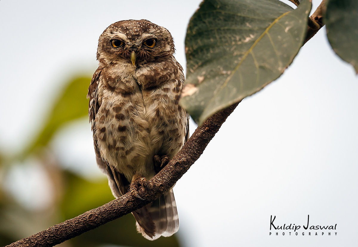 Spotted owlet.  by Kuldip Jaswal
