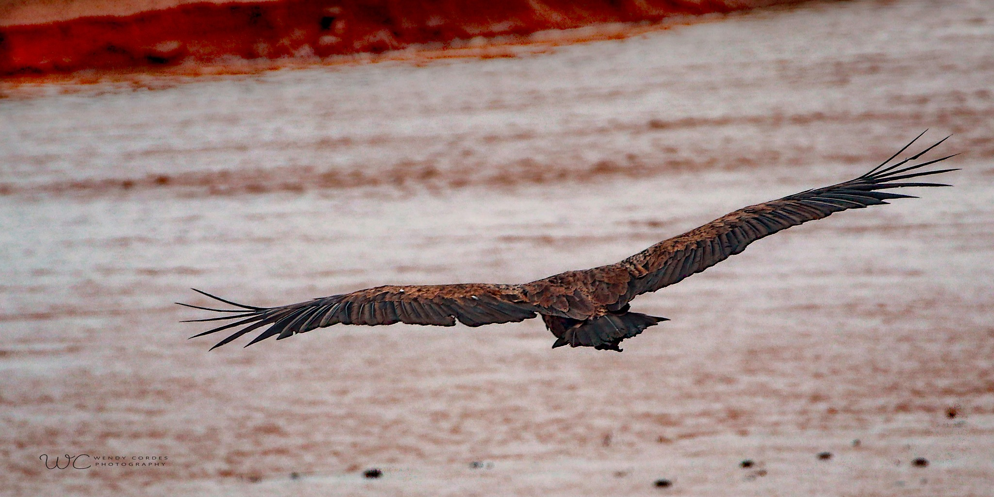Vulture Landing by Wendy Cordes