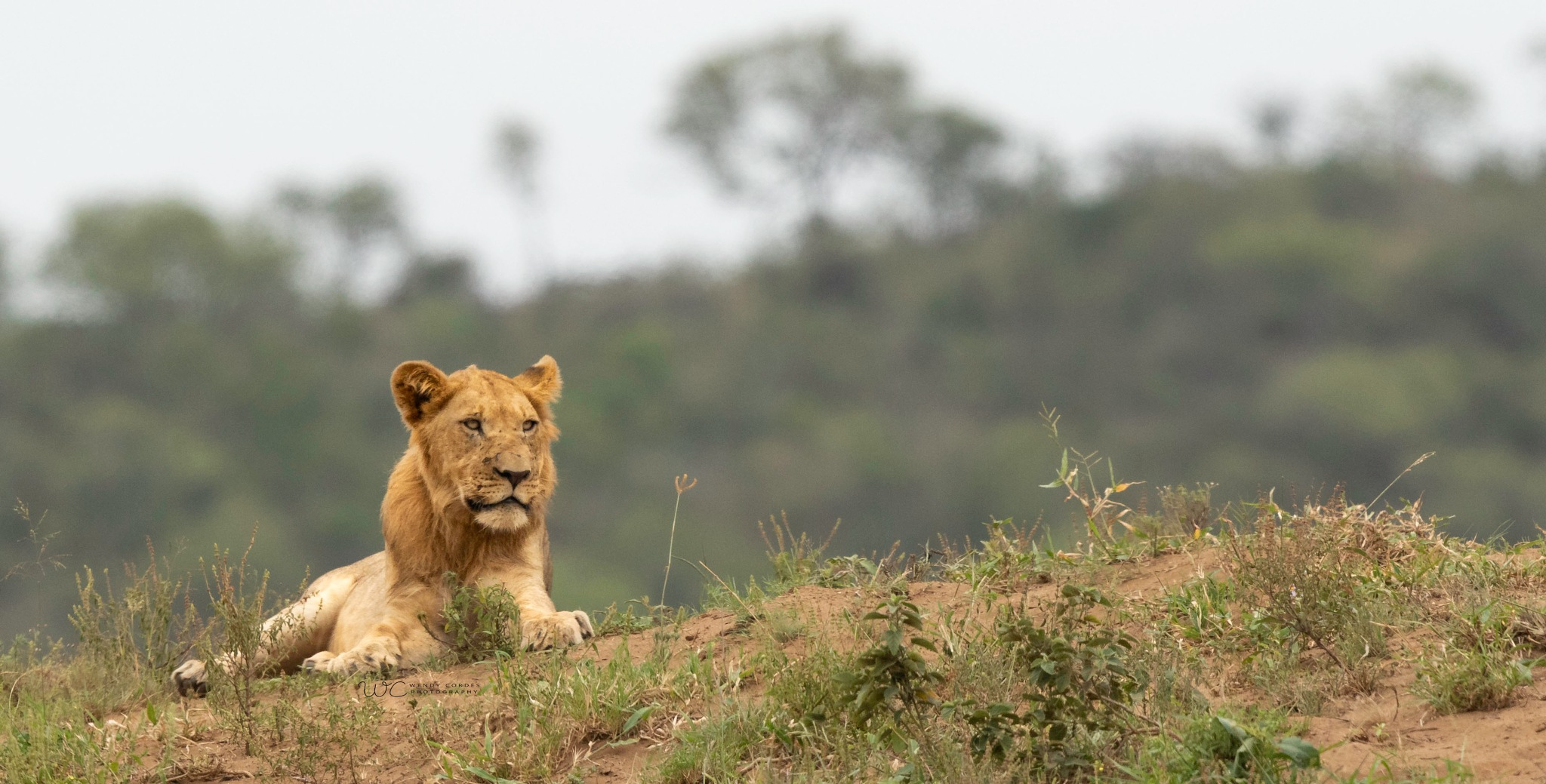 Top of the hill, not quite king of the jungle! by Wendy Cordes