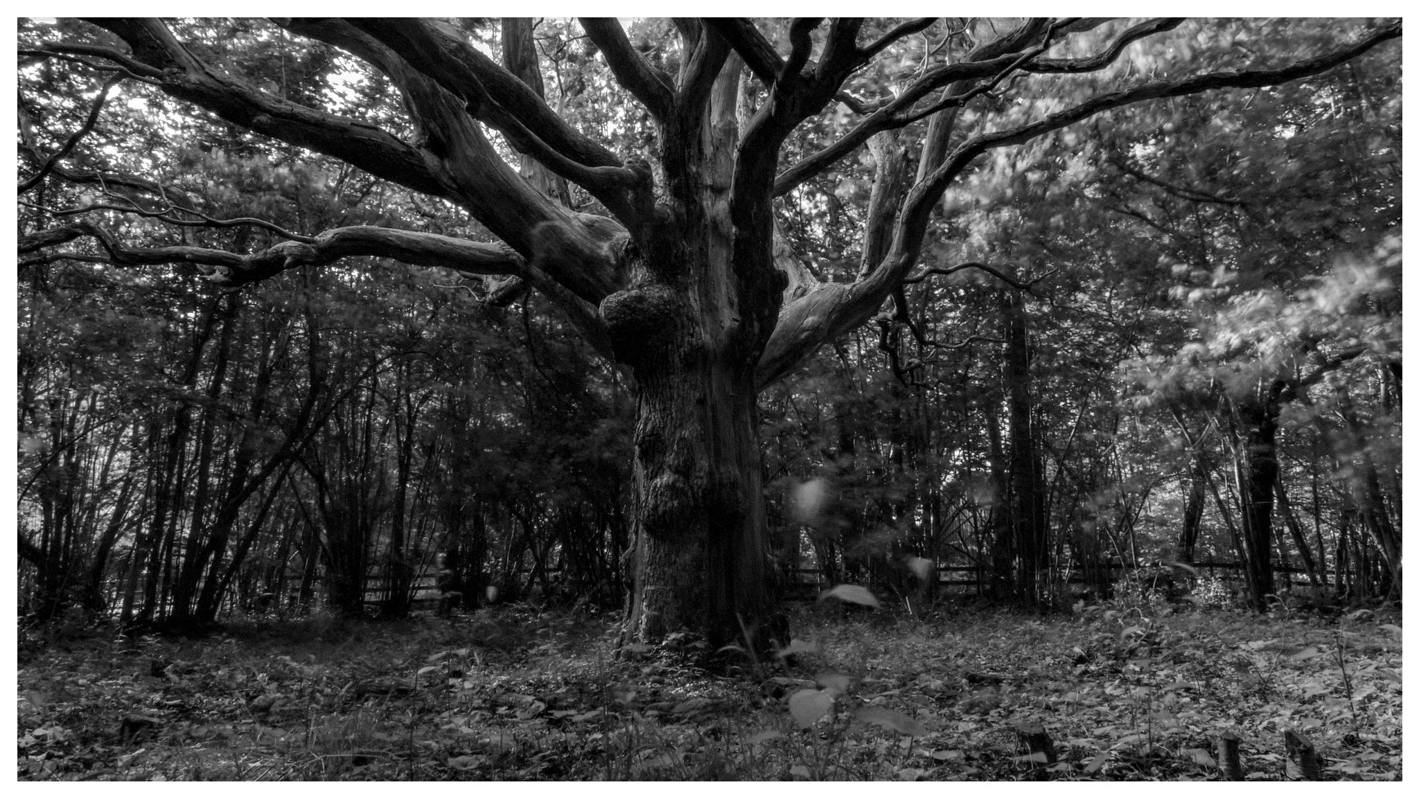 Oak forest by Bengt Lofgren