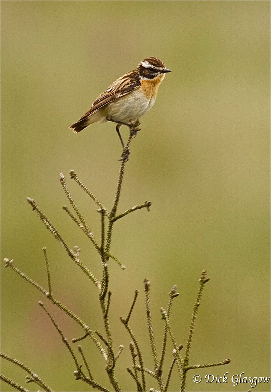 Whinchat by Dick Glasgow