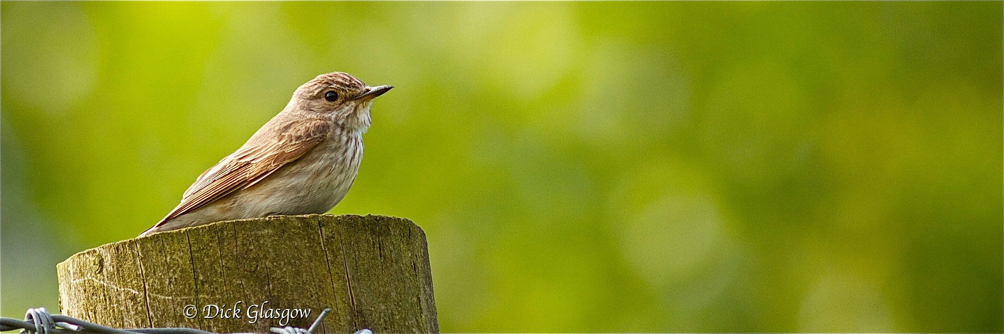 Spotted Flycatcher by Dick Glasgow