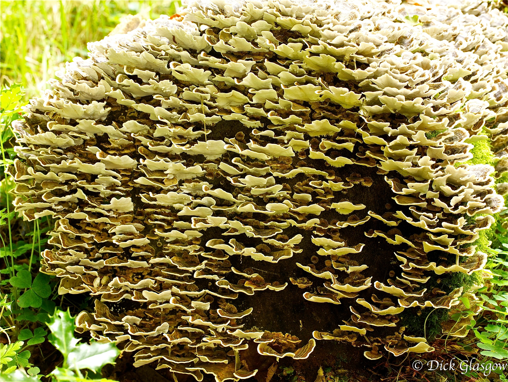 Tree Log covered in Fungus by Dick Glasgow