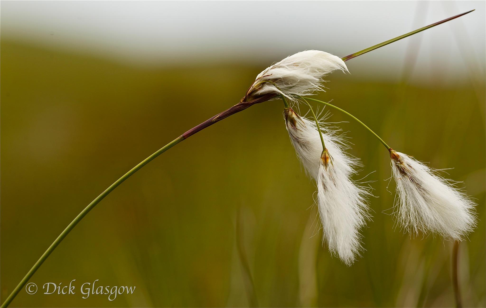 Bog Cotton by Dick Glasgow