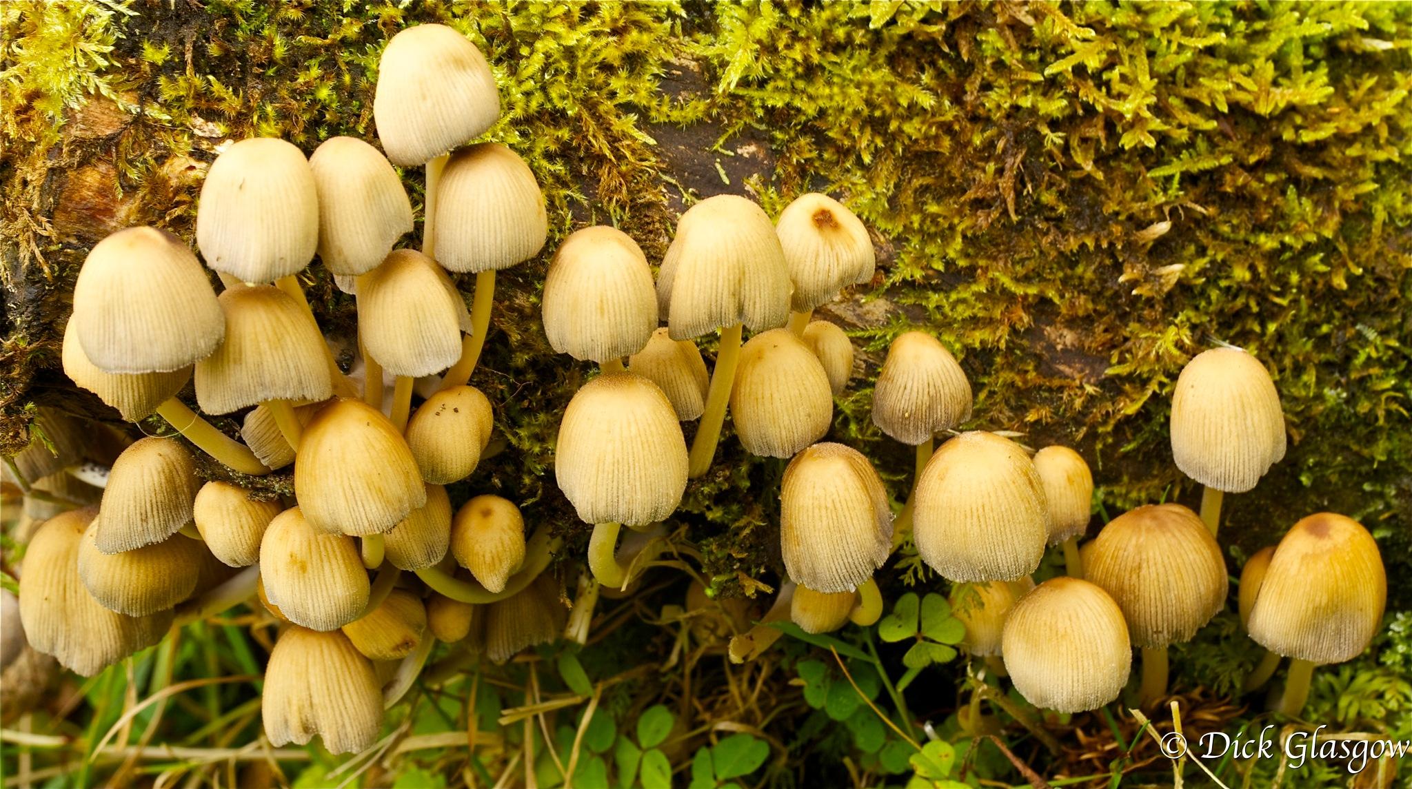 Many Mushrooms by Dick Glasgow