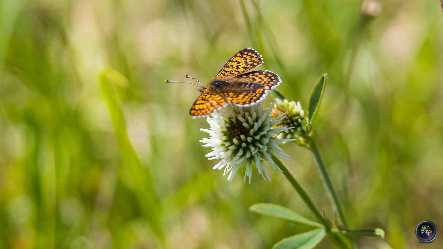 Papillon brun-orangé by Phil Murdter