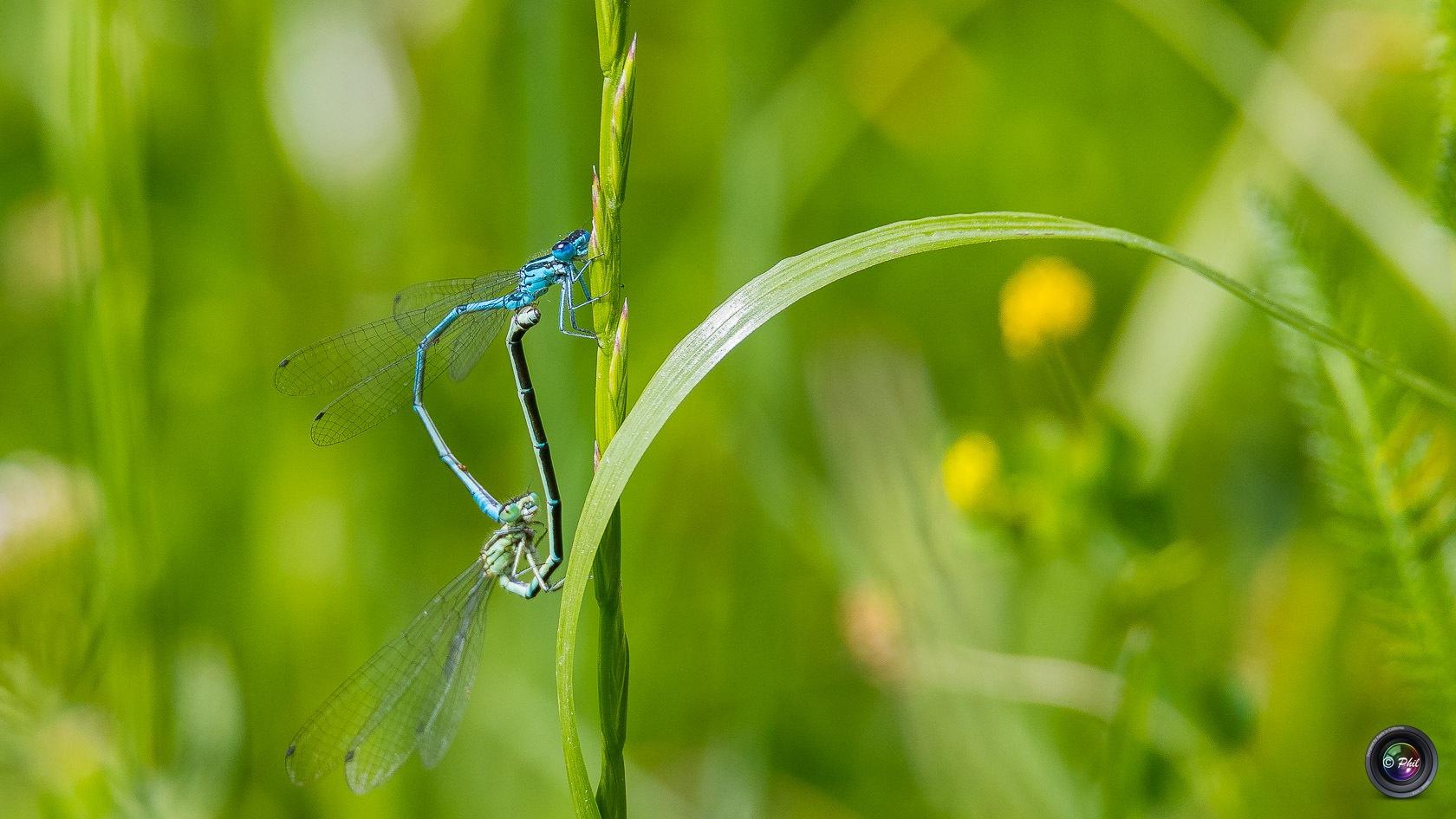Accouplement de libellules by Phil Murdter