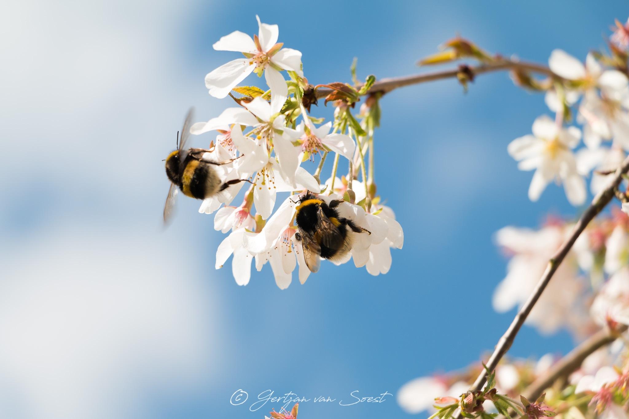 Springtime with bumblebees by Gertjan van Soest